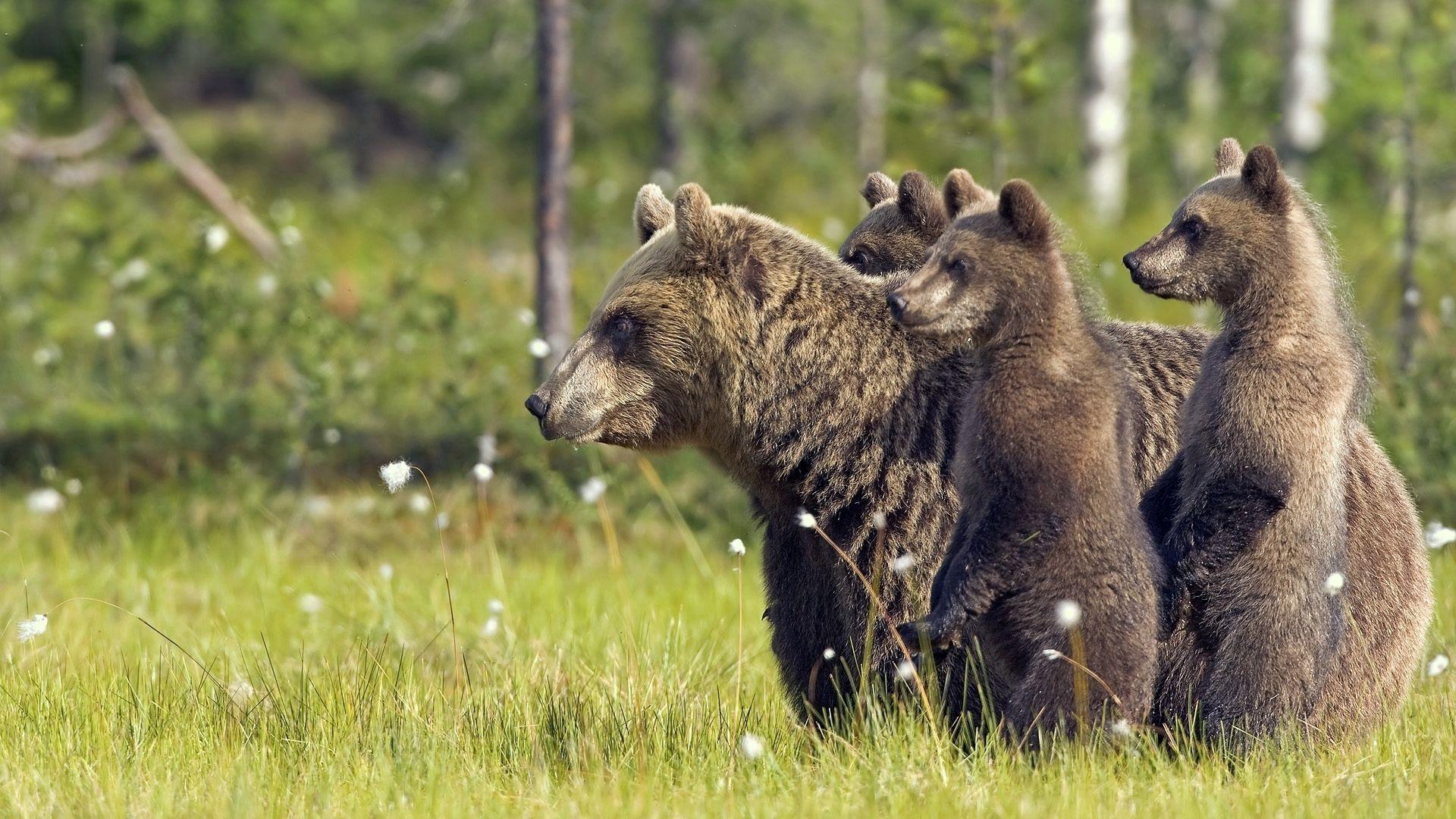 79218 Заставки и Обои Медведи на телефон. Скачать Медведи, Животные, Прогулка, Семья, Детеныши картинки бесплатно
