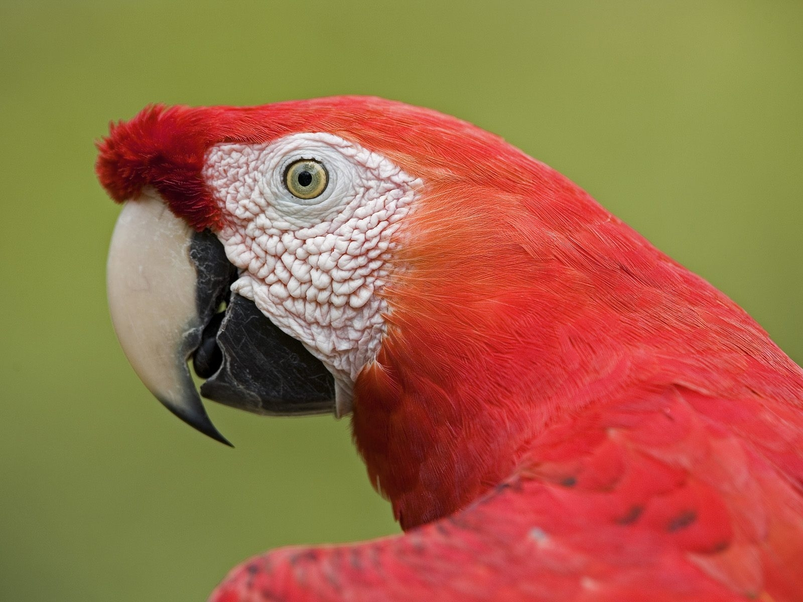 6271 download wallpaper Animals, Birds, Parrots screensavers and pictures for free
