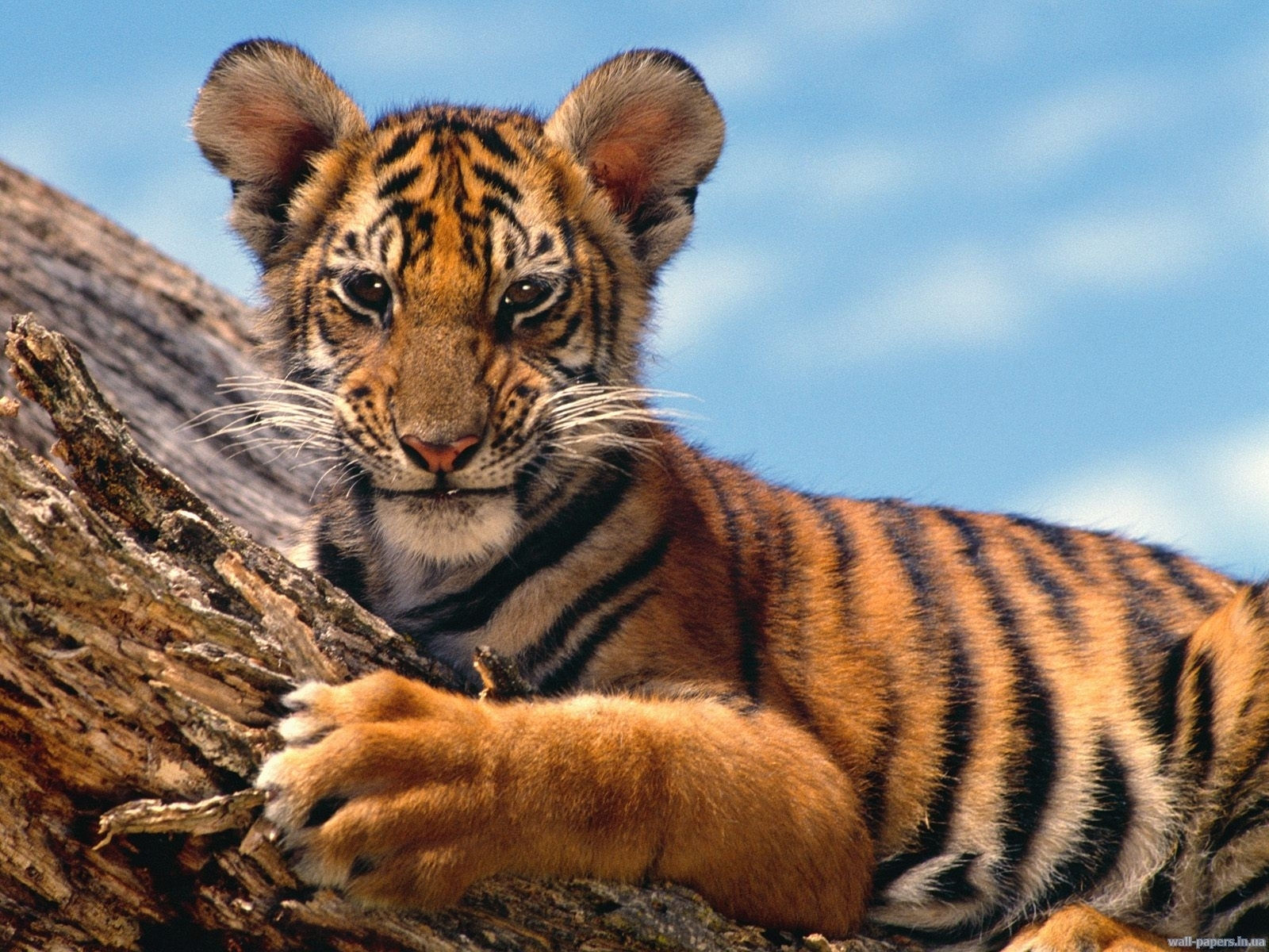 7596 download wallpaper Animals, Tigers screensavers and pictures for free