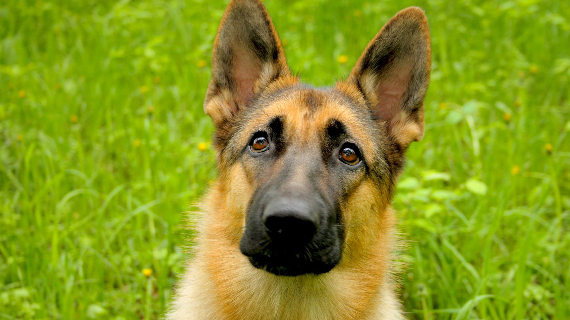 100923 download wallpaper Animals, Dog, Muzzle, Grass, Hunting, Hunt screensavers and pictures for free
