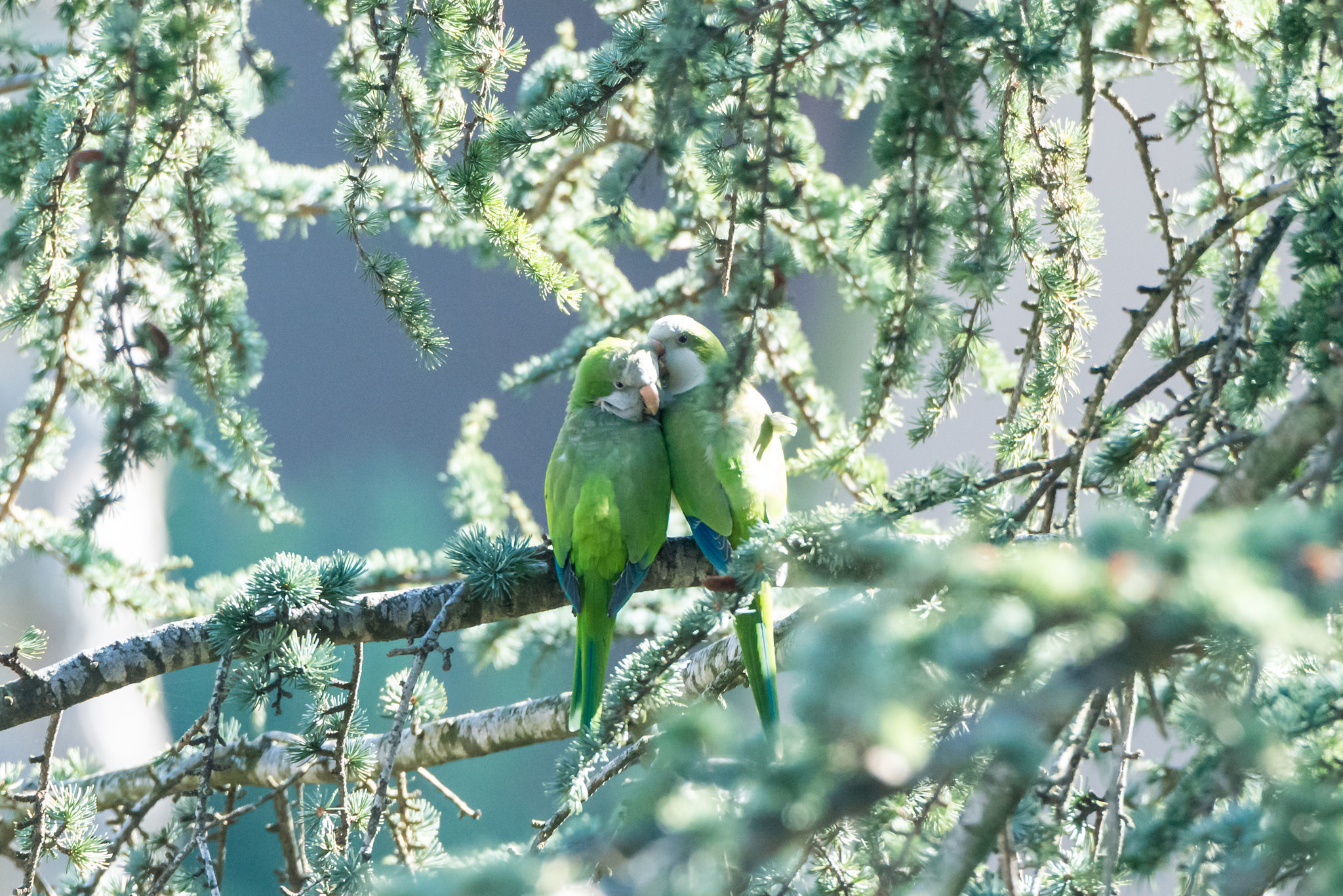 132262 Screensavers and Wallpapers Parrots for phone. Download Parrots, Animals, Branches, Tenderness, Couples, Fume pictures for free