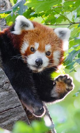80573 download wallpaper Animals, Red Panda, Funny, Animal, Paw screensavers and pictures for free