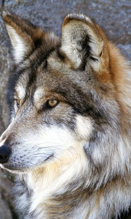 5120 baixar papel de parede Animais, Lobos - protetores de tela e imagens gratuitamente