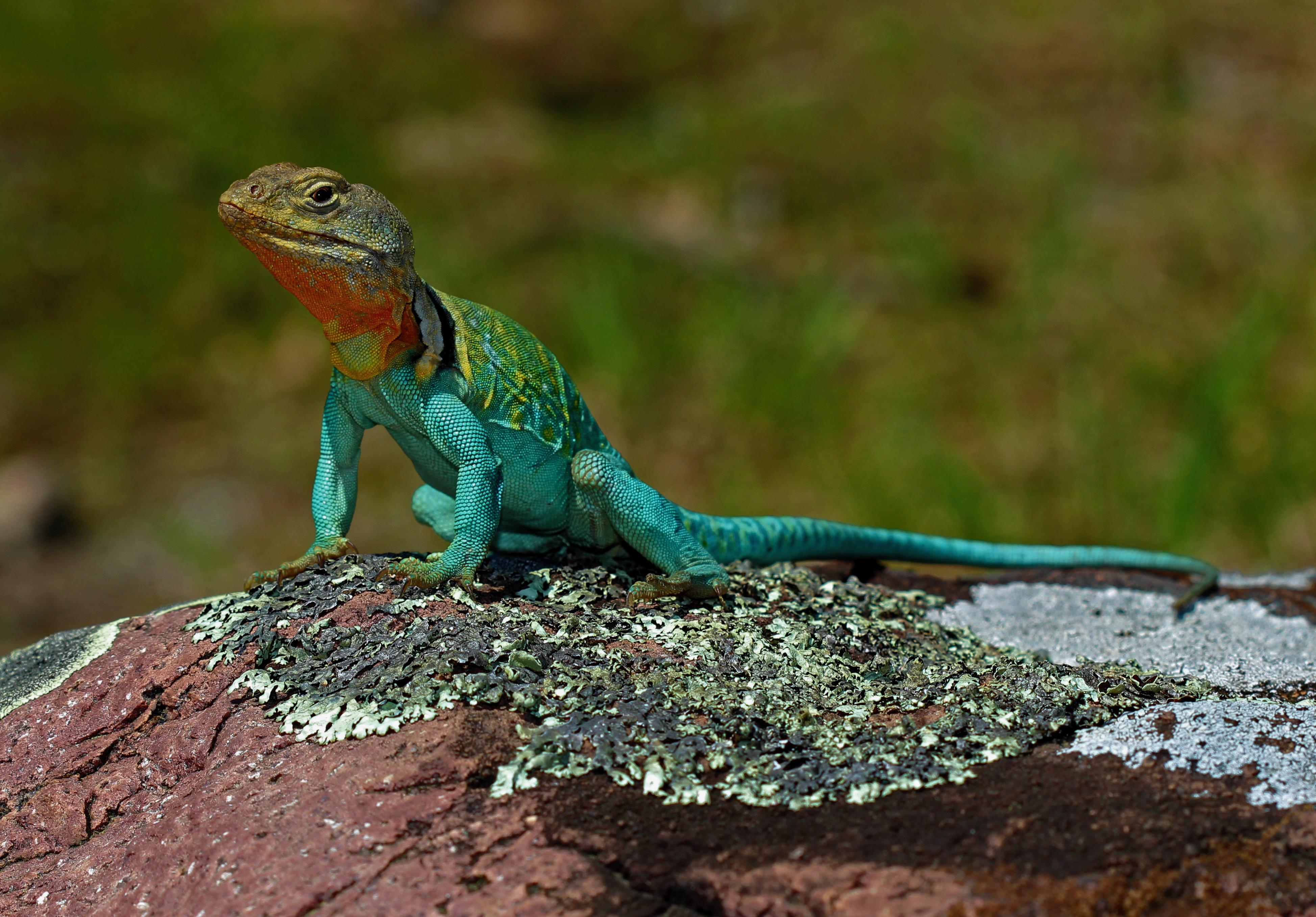 104267 Hintergrundbild herunterladen Tiere, Eidechse, Reptil, Reptile, Waage, Skala, Amphibie, Amphibien - Bildschirmschoner und Bilder kostenlos