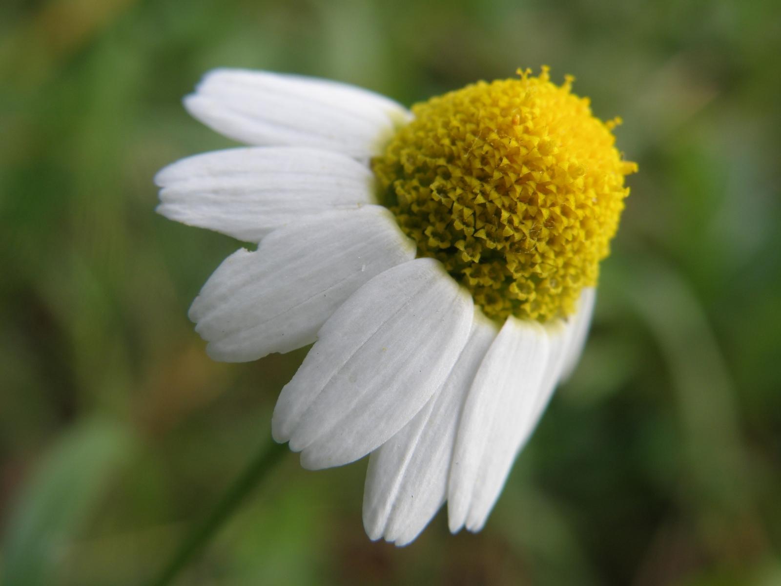 5849 скачать обои Растения, Цветы, Ромашки - заставки и картинки бесплатно