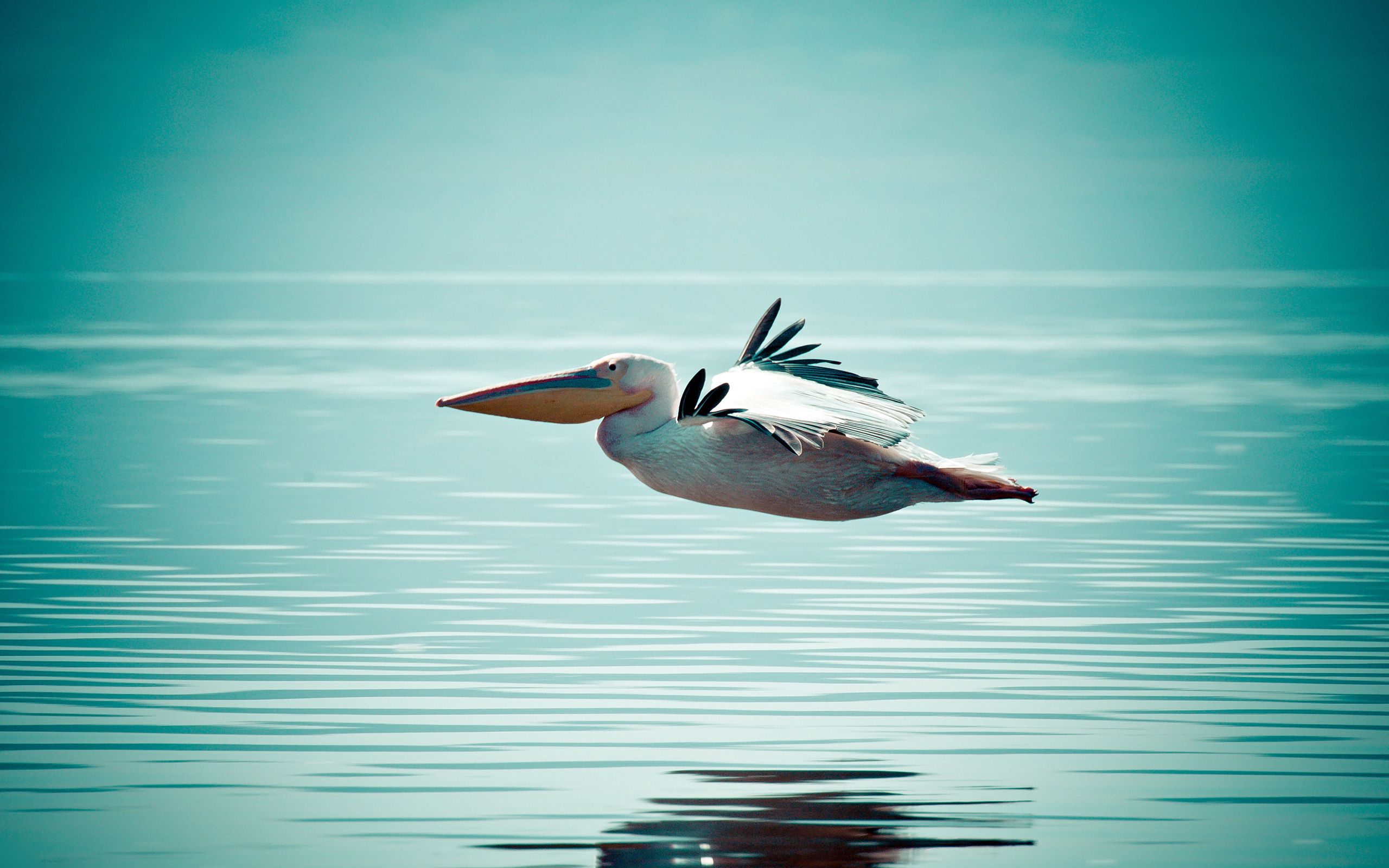 67956 download wallpaper Animals, Pelican, Bird, Water, Surface, Flight screensavers and pictures for free