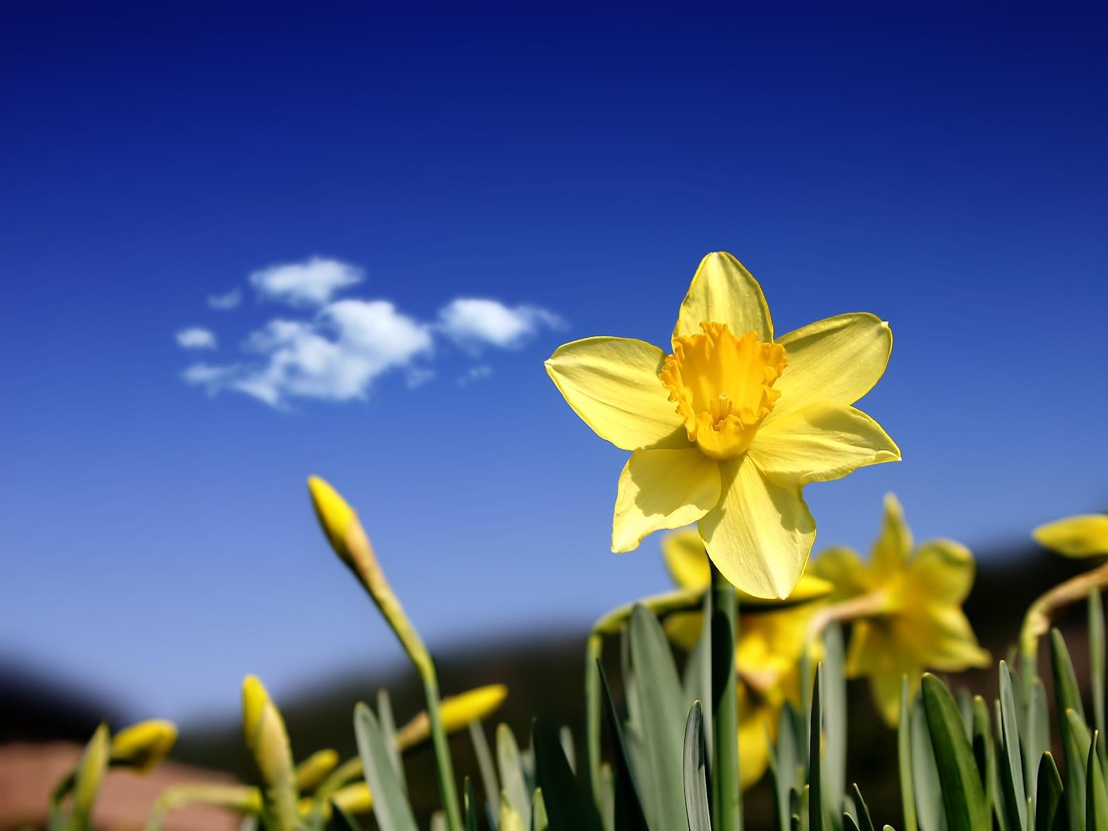 3700 скачать обои Растения, Цветы, Нарциссы - заставки и картинки бесплатно