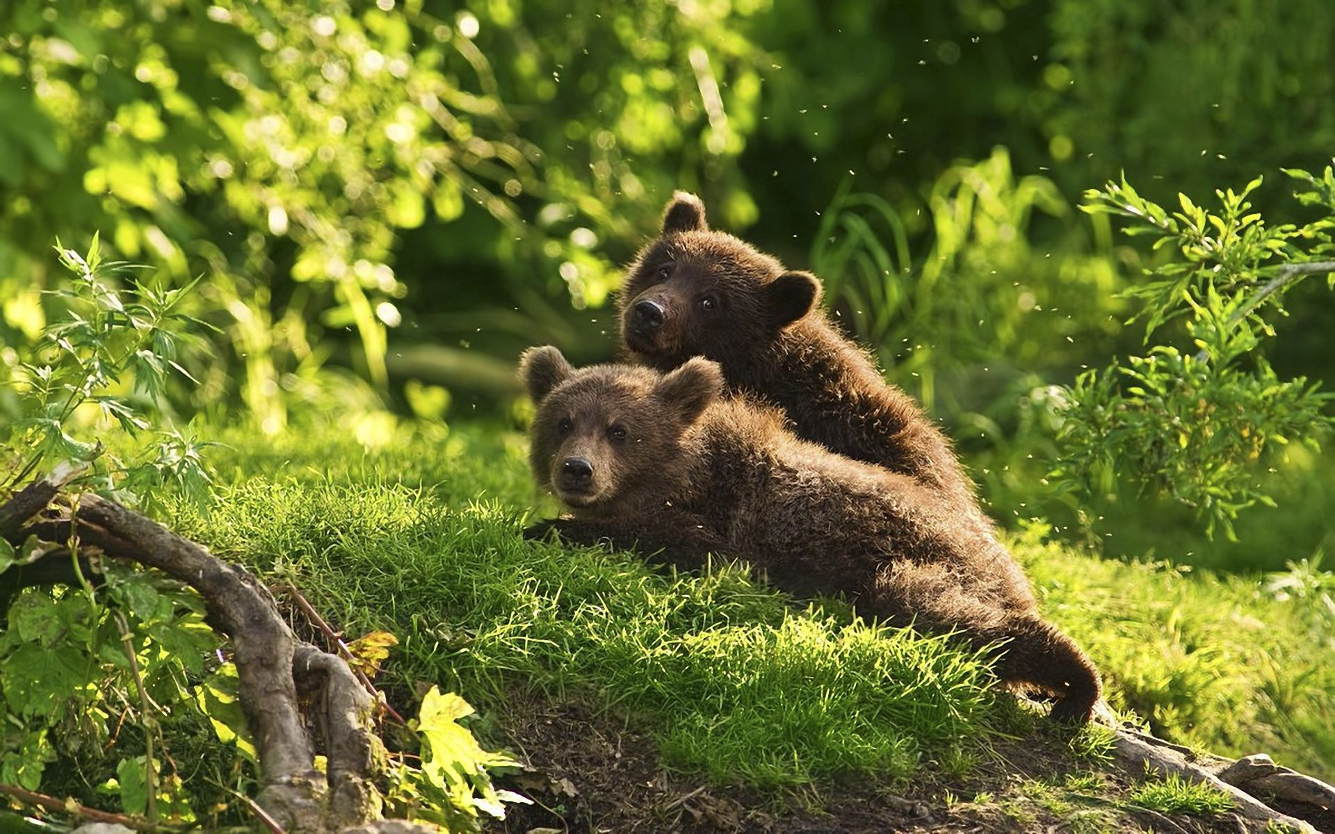 83598 Screensavers and Wallpapers Young for phone. Download Animals, Grass, Bears, Young, Couple, Pair, To Lie Down, Lie, Cubs, Teddy Bears pictures for free
