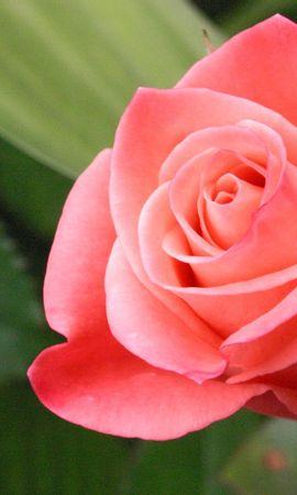 41050 télécharger le fond d'écran Plantes, Fleurs, Roses - économiseurs d'écran et images gratuitement