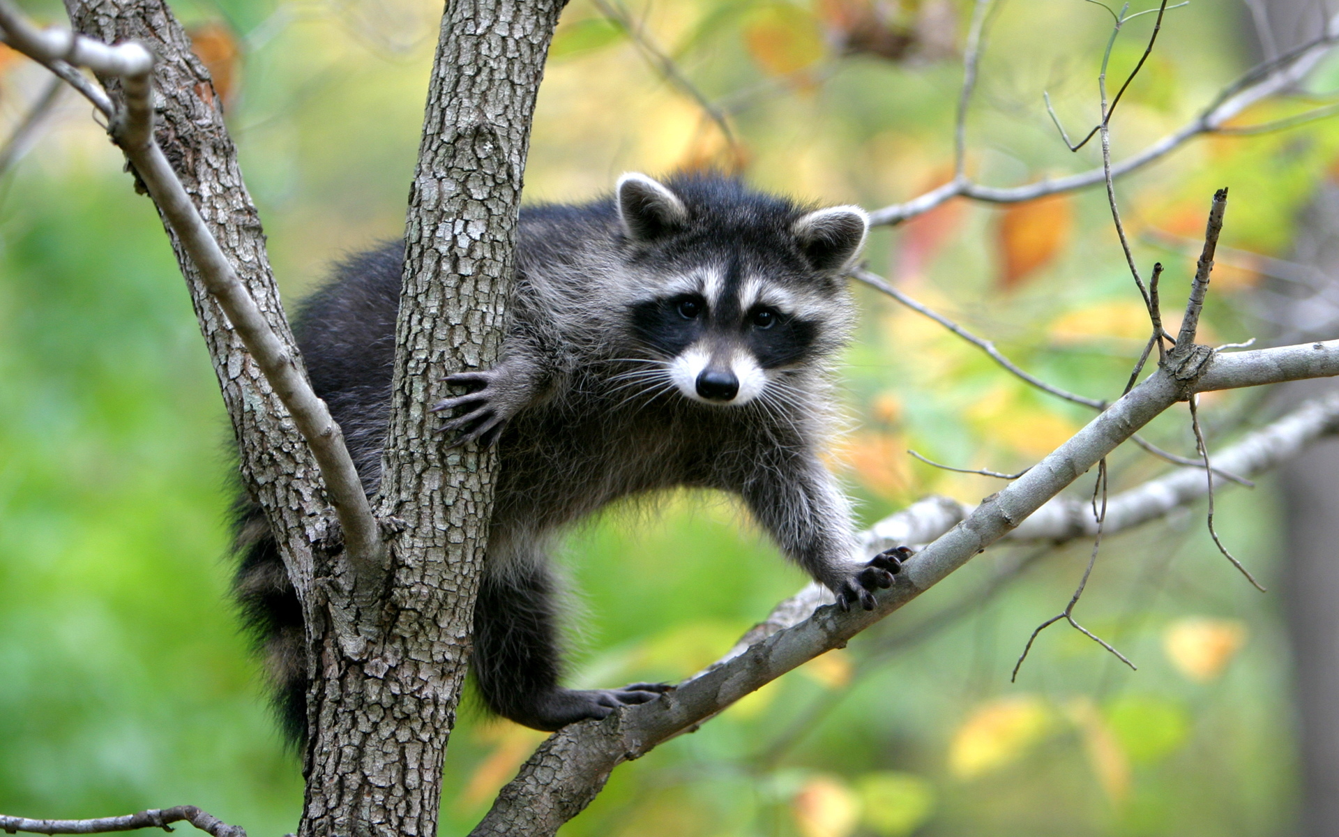 43593 download wallpaper Animals, Raccoons screensavers and pictures for free