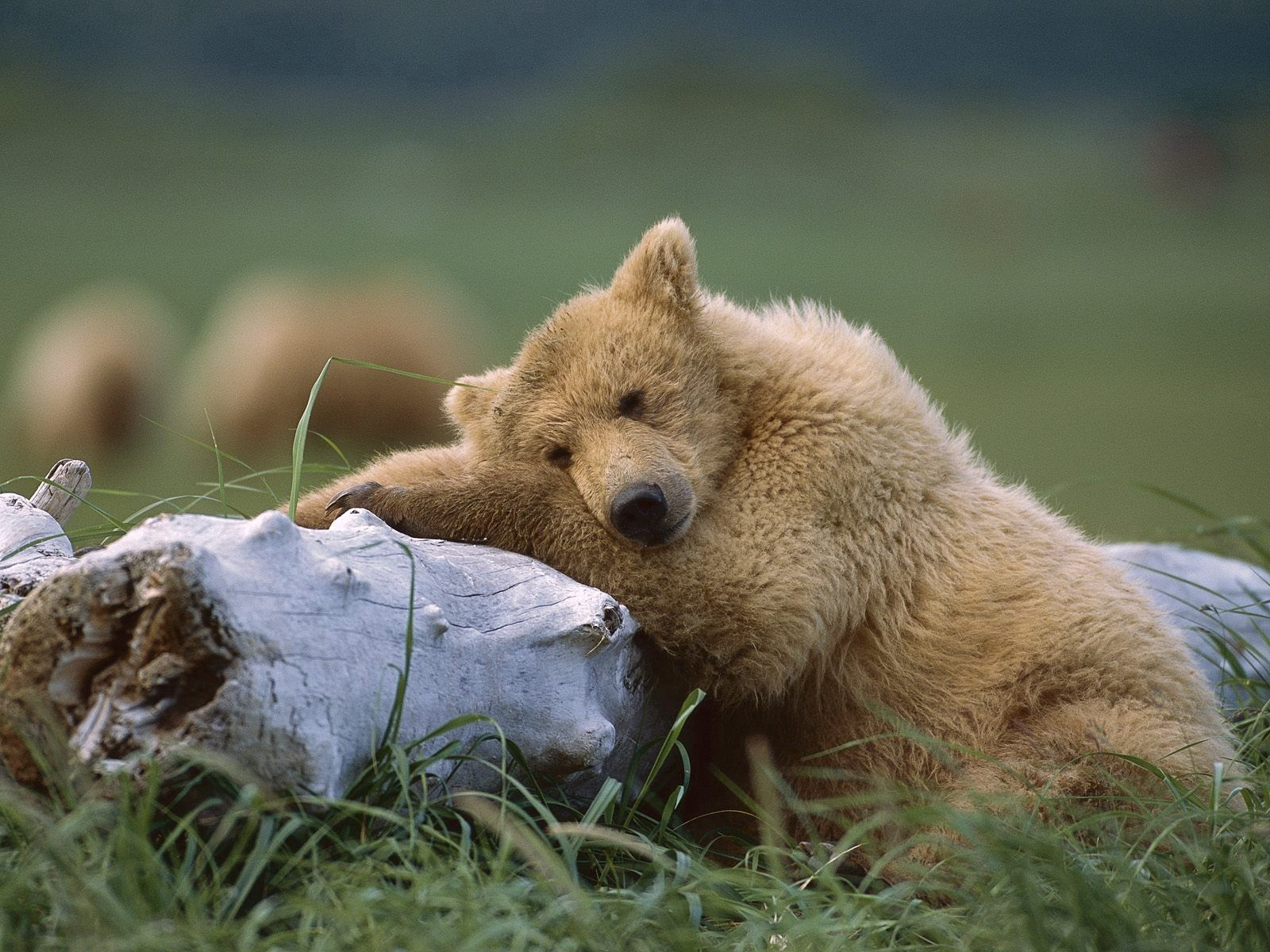 121964 download wallpaper Animals, Bear, Young, Joey, Log, To Lie Down, Lie screensavers and pictures for free