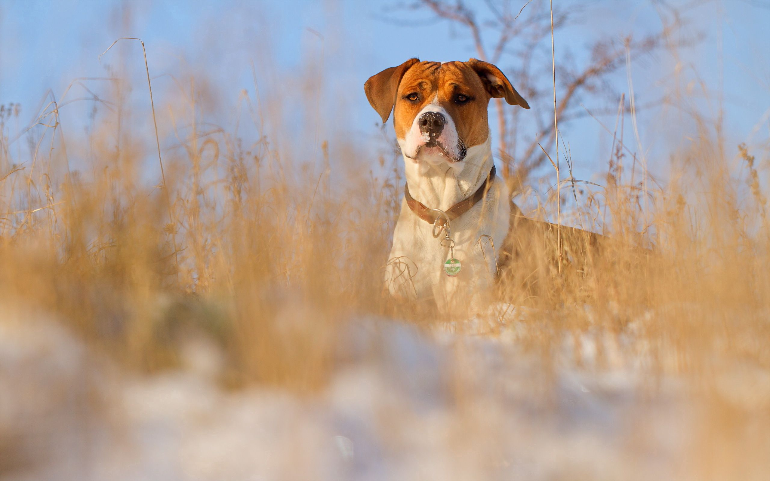 127279 Screensavers and Wallpapers Collar for phone. Download Animals, Grass, Dog, Muzzle, Collar pictures for free