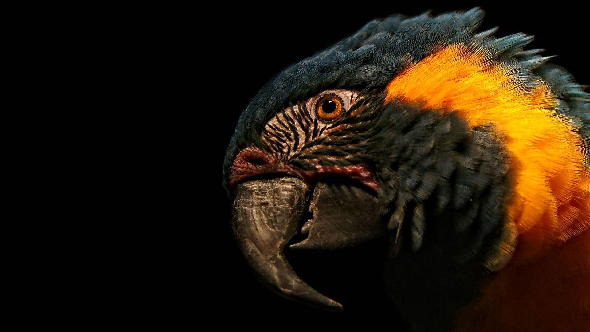 52975 Hintergrundbild herunterladen Tiere, Papageien, Feder, Makro, Schnabel, Kopf - Bildschirmschoner und Bilder kostenlos