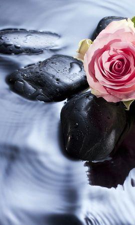 15830 descargar fondo de pantalla Plantas, Flores, Agua, Stones, Roses: protectores de pantalla e imágenes gratis