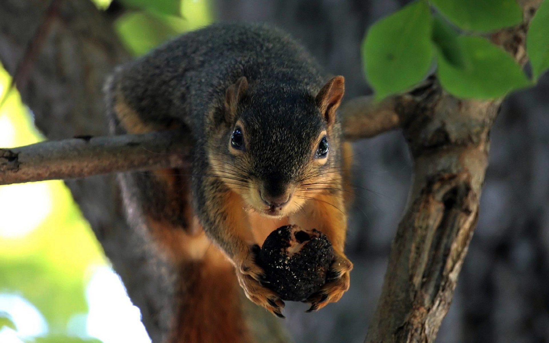 32308 download wallpaper Animals, Squirrel screensavers and pictures for free