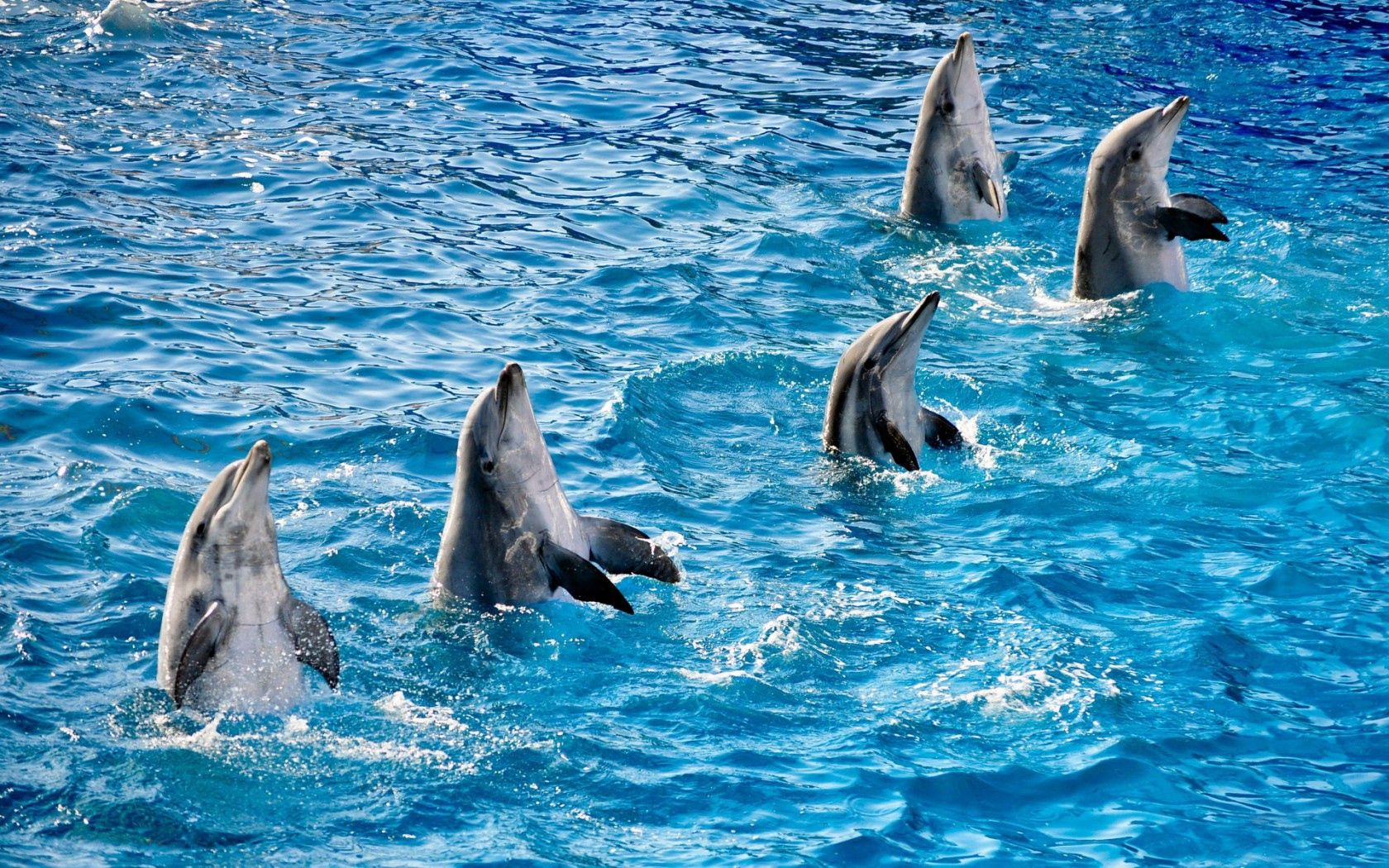 144891 download wallpaper Animals, Water, Dolfins, Ripples, Ripple, Pool, Fins, Five screensavers and pictures for free