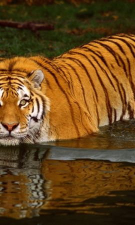 4335 download wallpaper Animals, Water, Tigers screensavers and pictures for free