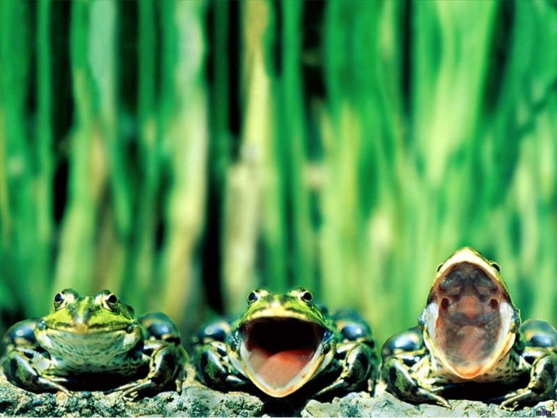37866 download wallpaper Animals, Frogs screensavers and pictures for free