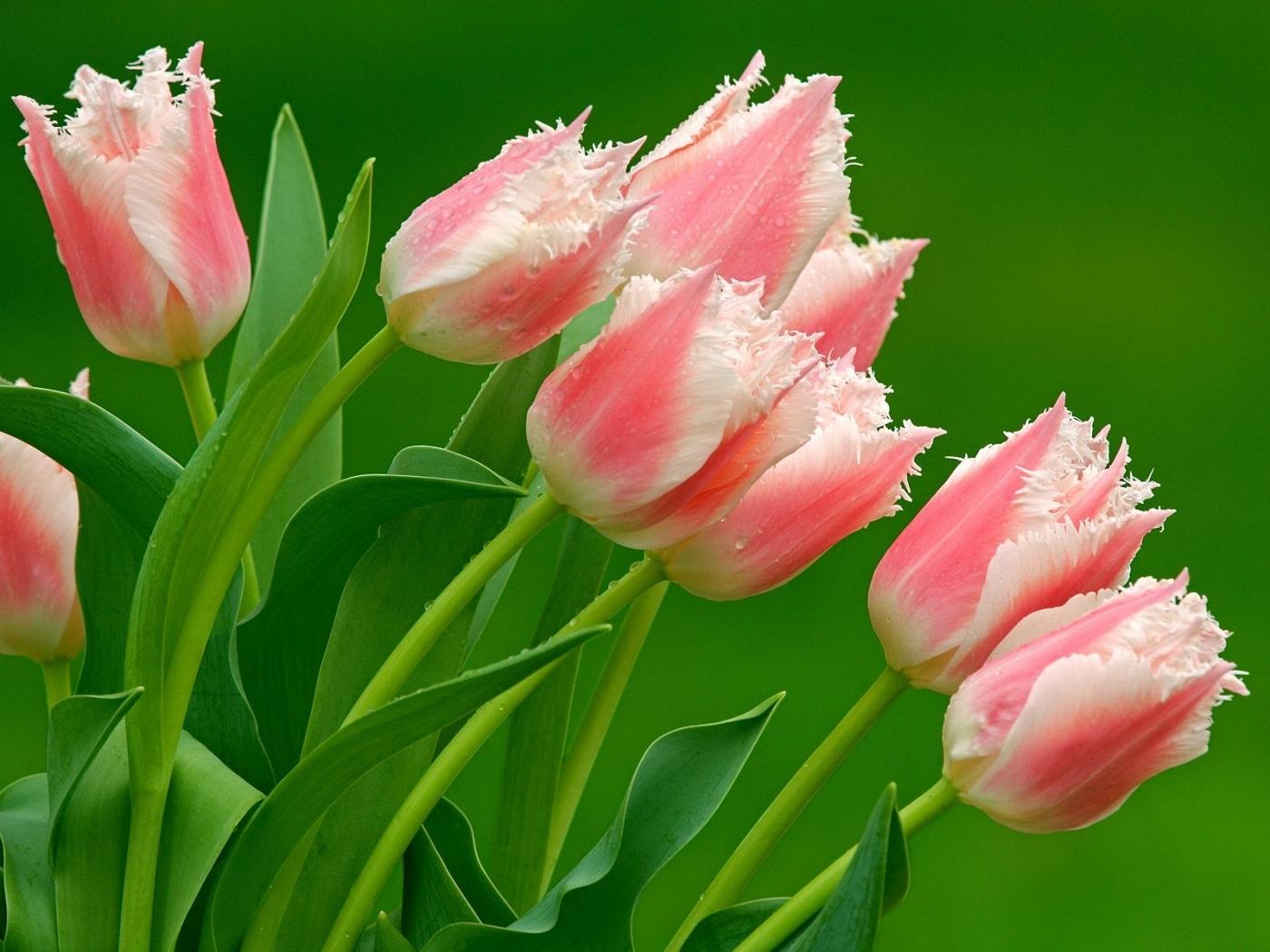 50156 скачать обои Растения, Цветы, Тюльпаны - заставки и картинки бесплатно
