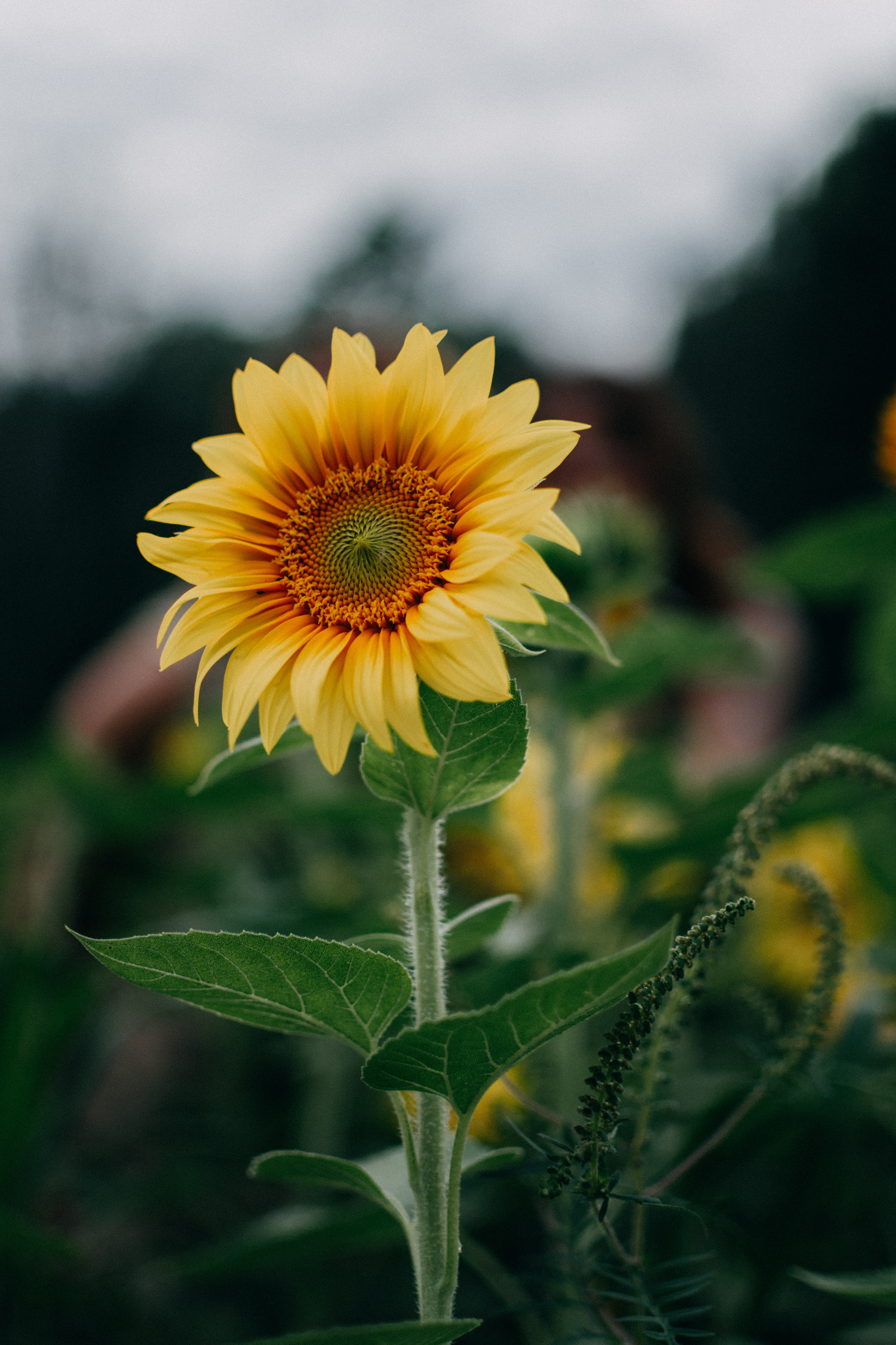 83170 download wallpaper Flower, Flowers, Summer, Field, Sunflower screensavers and pictures for free