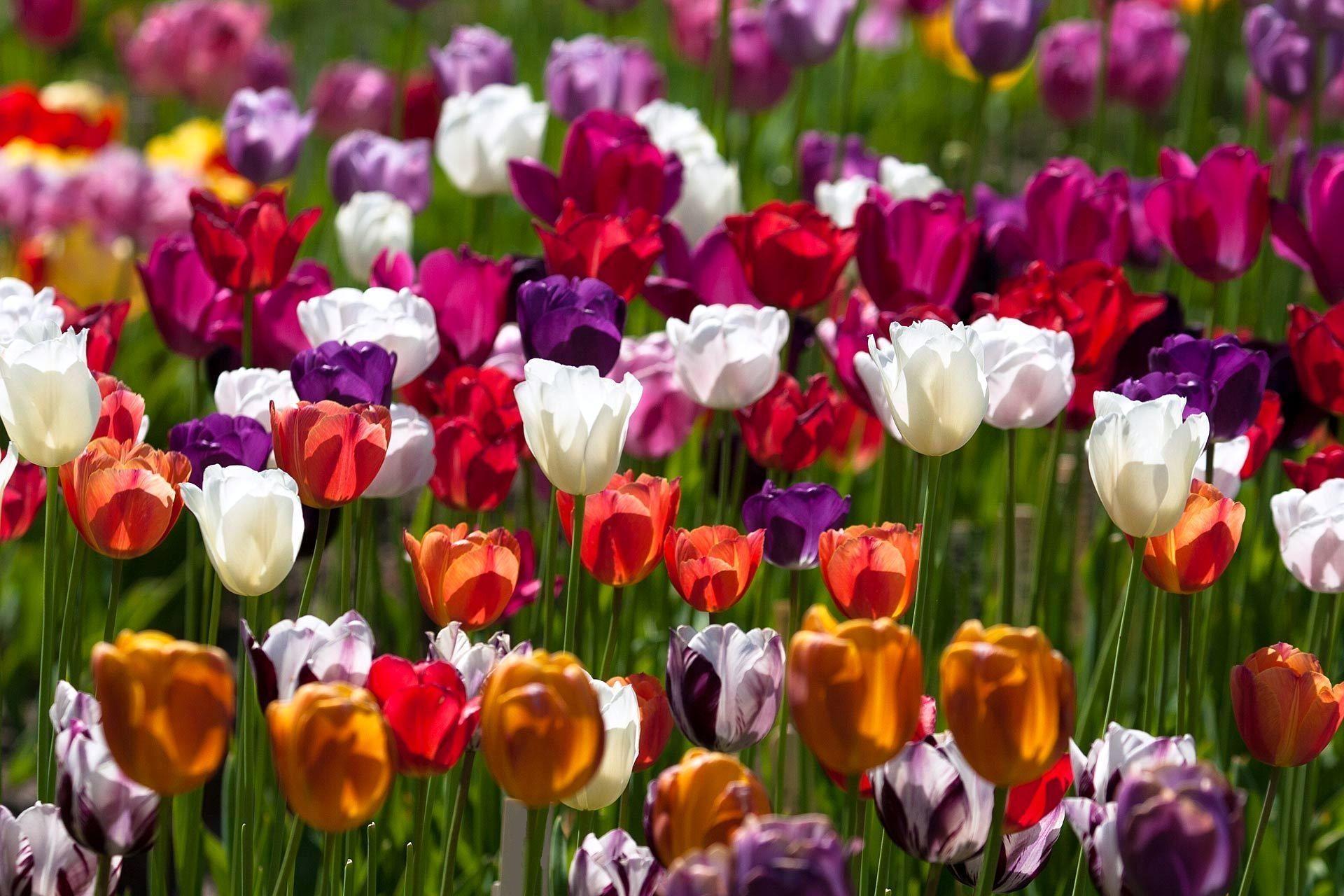 148395 скачать обои Тюльпаны, Цветы, Разные, Солнечно, Пестрые - заставки и картинки бесплатно