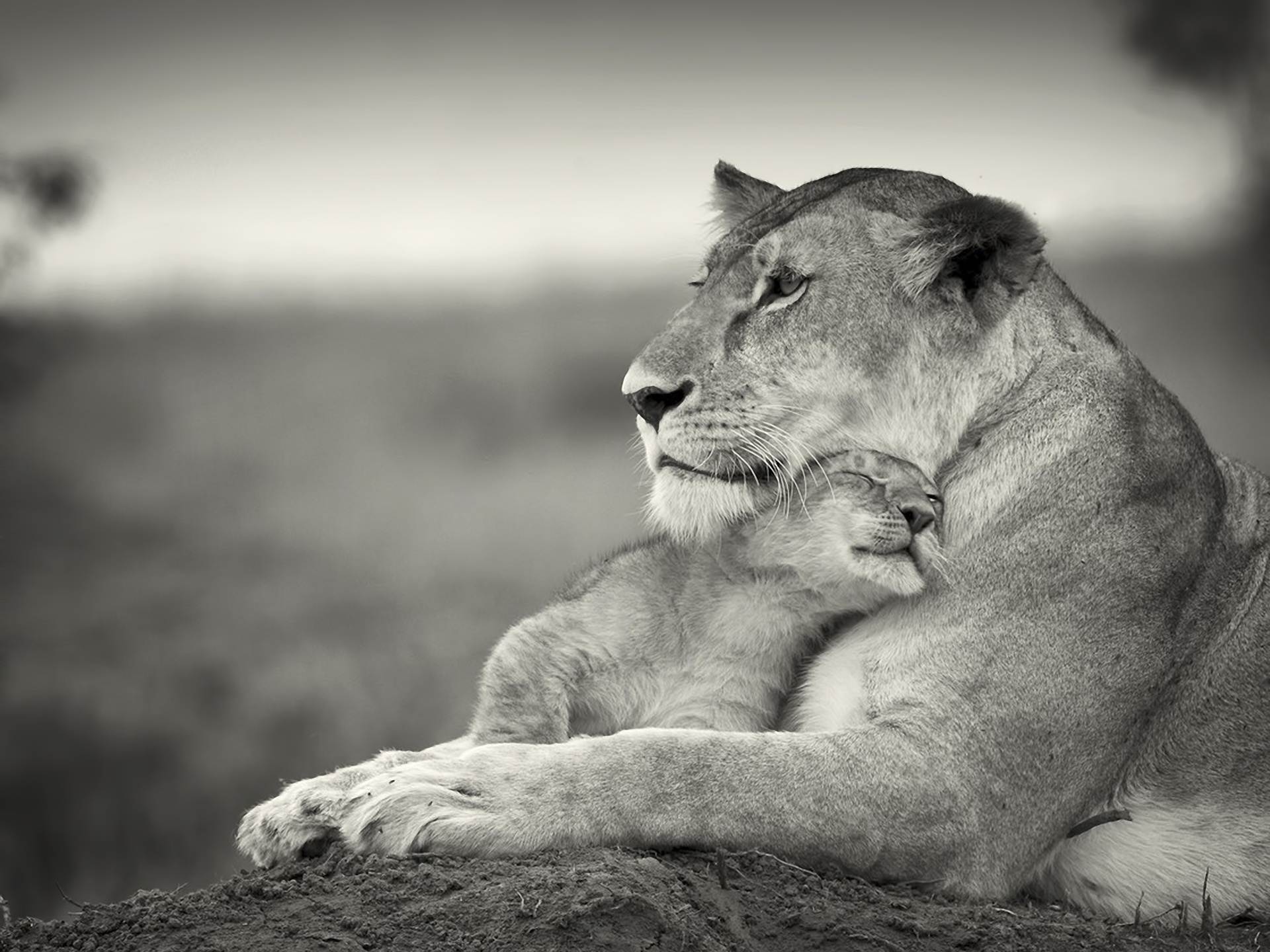 147191 Screensavers and Wallpapers Wool for phone. Download Animals, Young, Couple, Pair, Lion, Bw, Chb, Joey, Wool pictures for free