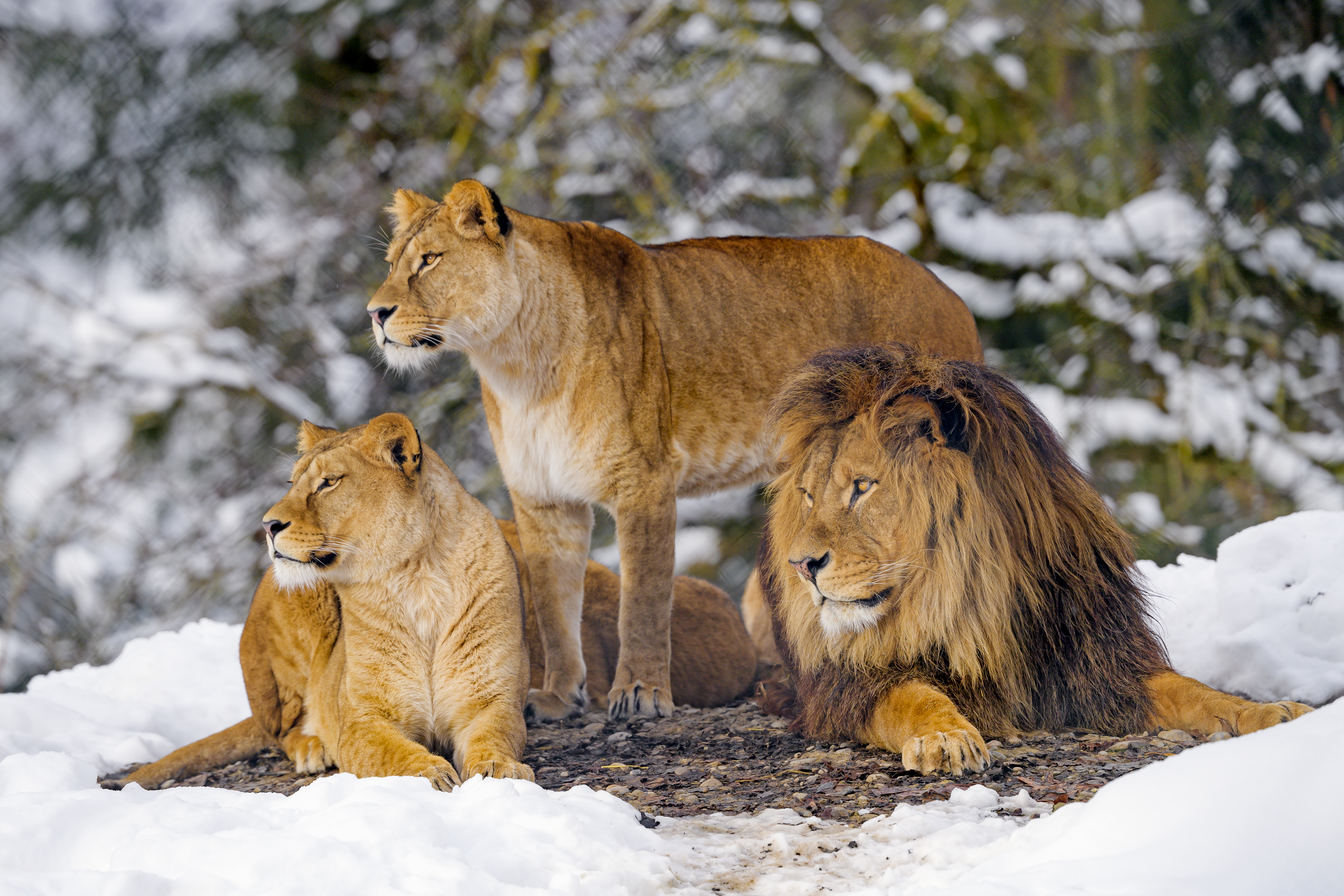 90090 download wallpaper Animals, Predators, Wildlife, Lions screensavers and pictures for free