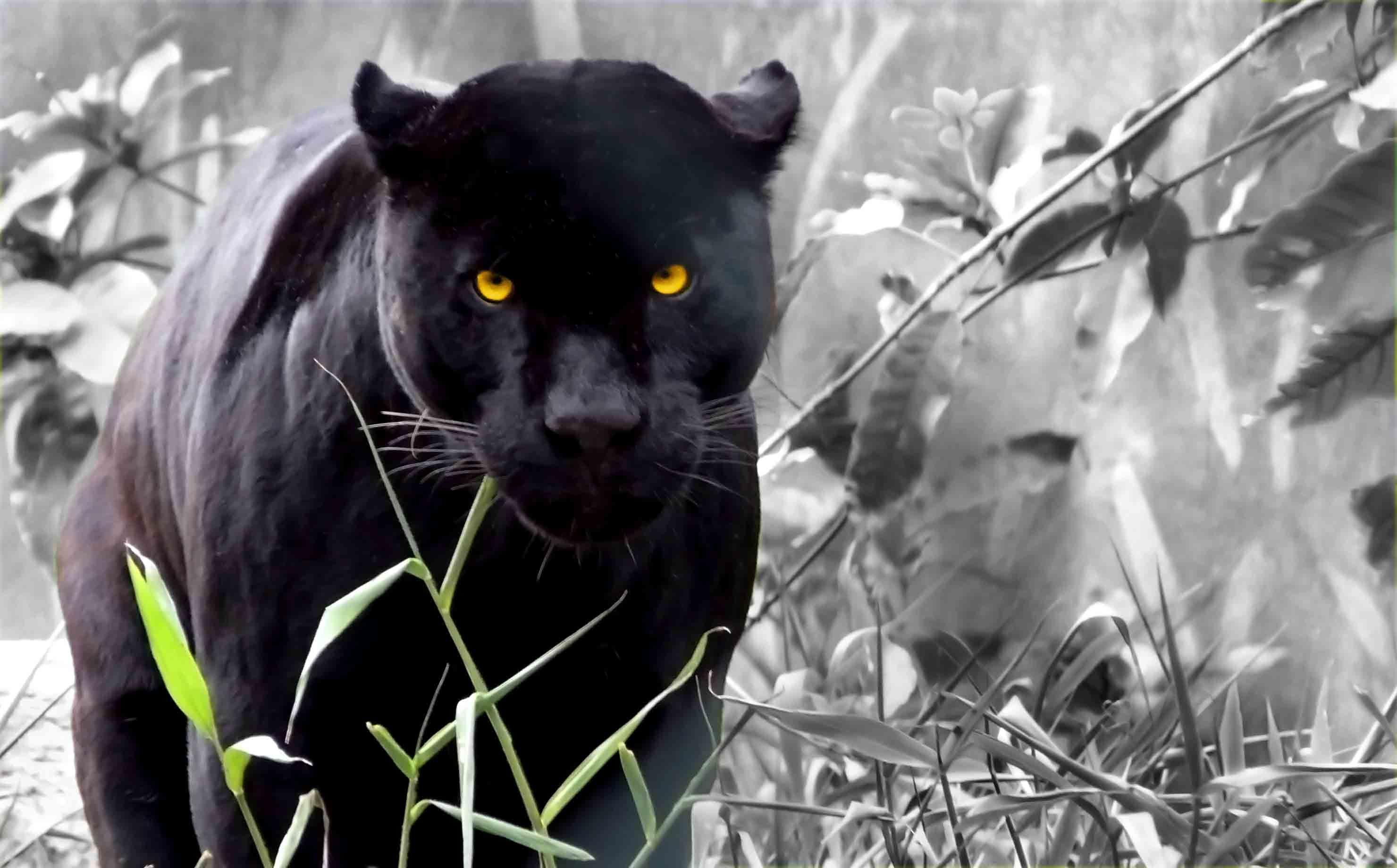 12015 Hintergrundbild herunterladen Tiere, Fotokunst, Panthers - Bildschirmschoner und Bilder kostenlos