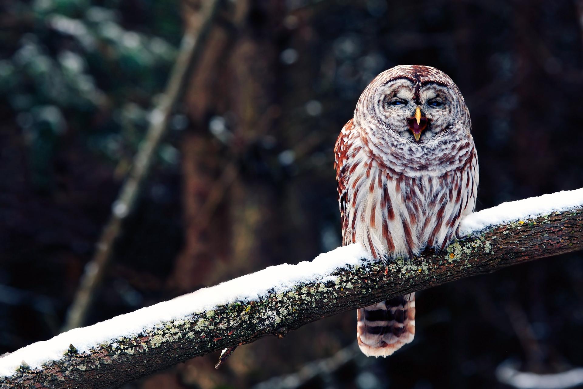 57627 Hintergrundbild herunterladen Eule, Tiere, Schnee, Vogel, Sitzen, Ast, Zweig, Raubtier, Predator - Bildschirmschoner und Bilder kostenlos