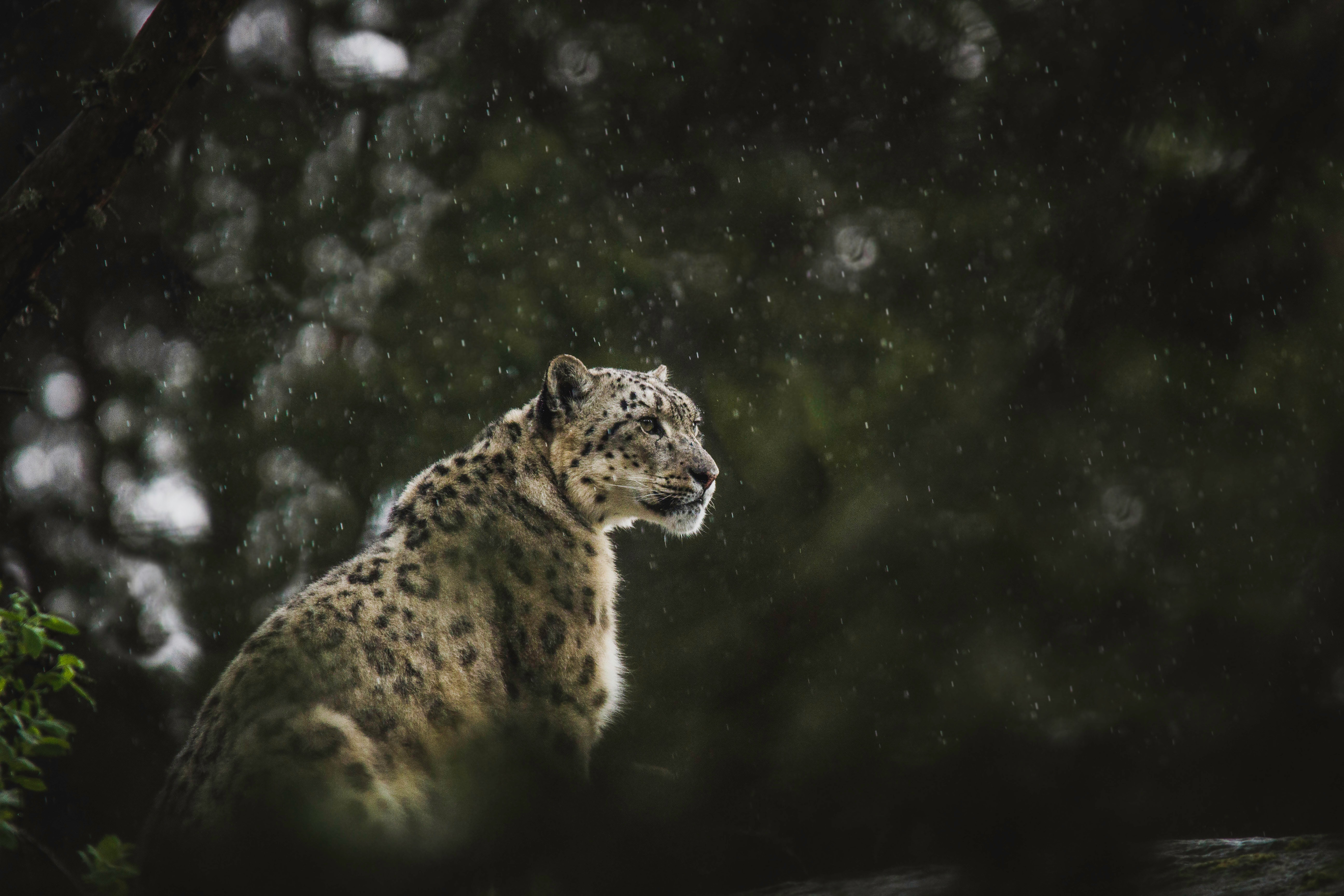 60841 download wallpaper Animals, Snow Leopard, Leopard, Big Cat, Predator, Rain, Wildlife screensavers and pictures for free