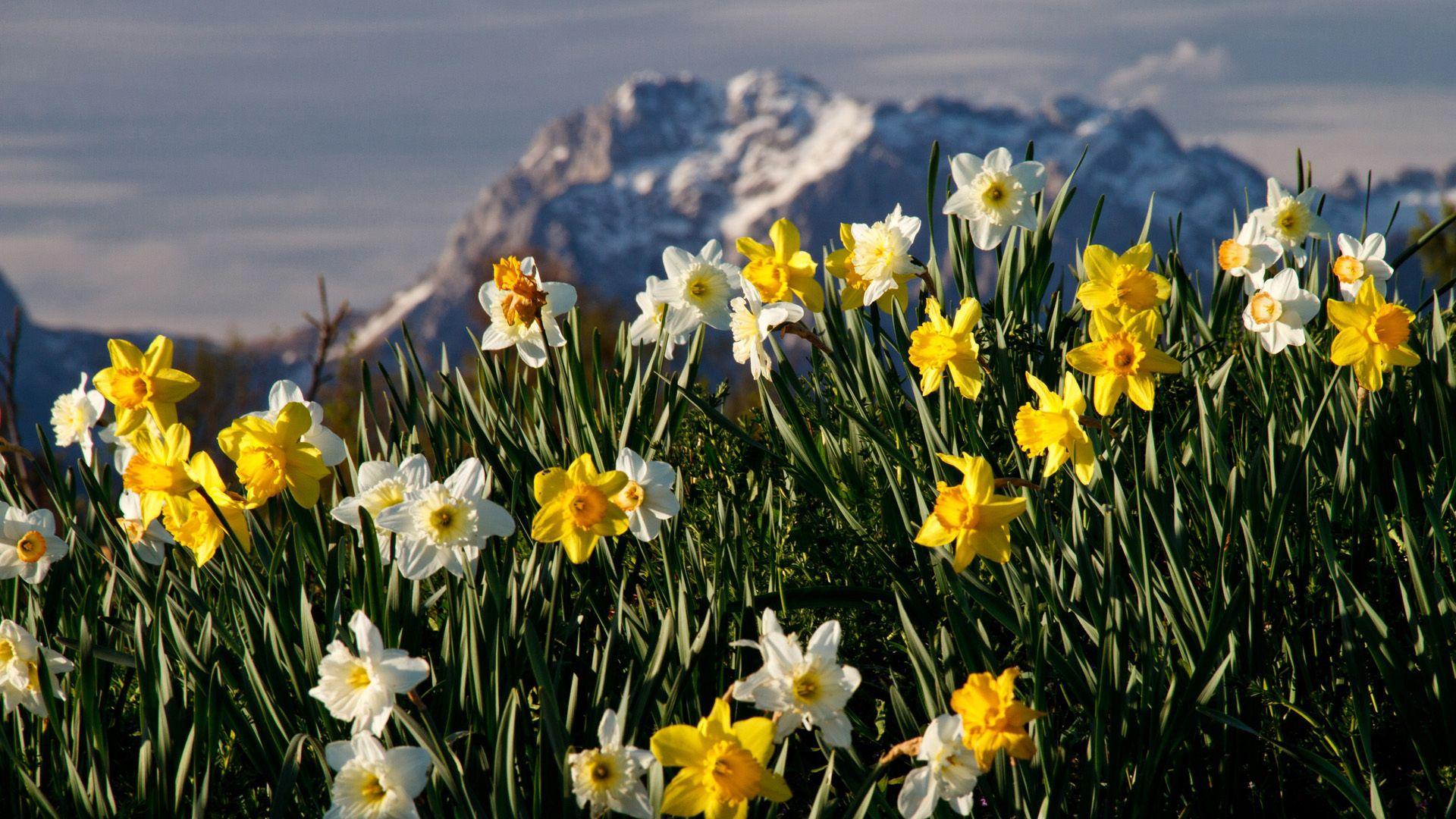 71629 Заставки и Обои Нарциссы на телефон. Скачать Природа, Цветы, Нарциссы, Растение картинки бесплатно