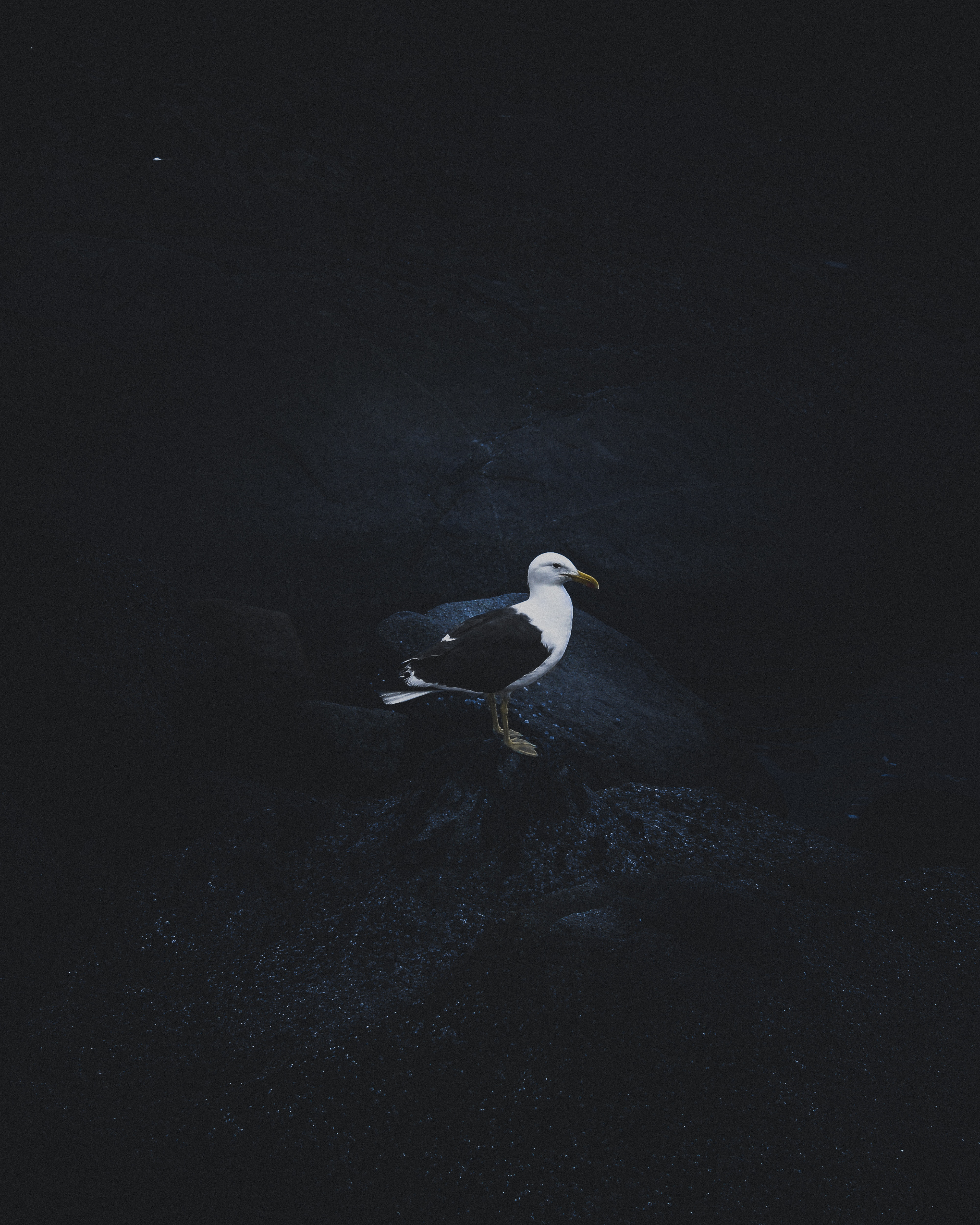 106028 download wallpaper Animals, Bird, Dark Background, Gull, Seagull screensavers and pictures for free
