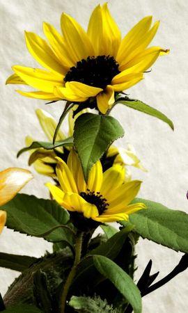 95605 télécharger le fond d'écran Fleurs, Iris, Bouquet, Tournesols - économiseurs d'écran et images gratuitement