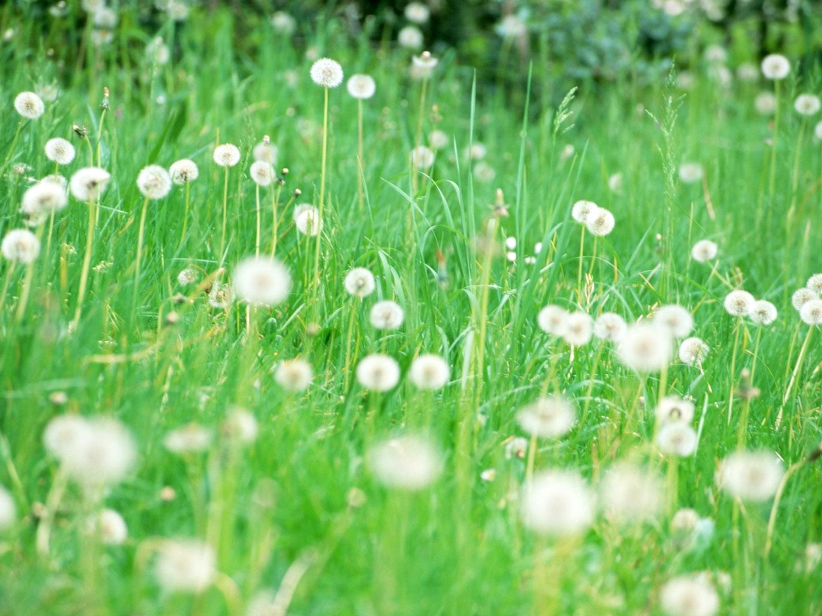 217 Заставки и Обои Одуванчики на телефон. Скачать Растения, Трава, Одуванчики картинки бесплатно