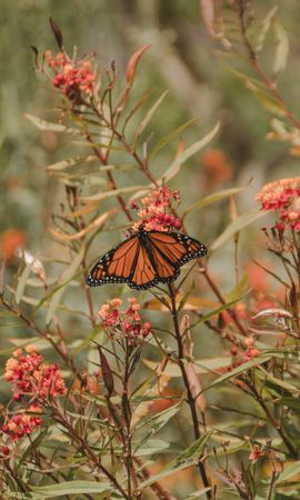 93591 download wallpaper Animals, Monarch Butterfly, Butterfly Monarch, Butterfly, Insect, Wings, Flower, Plants screensavers and pictures for free