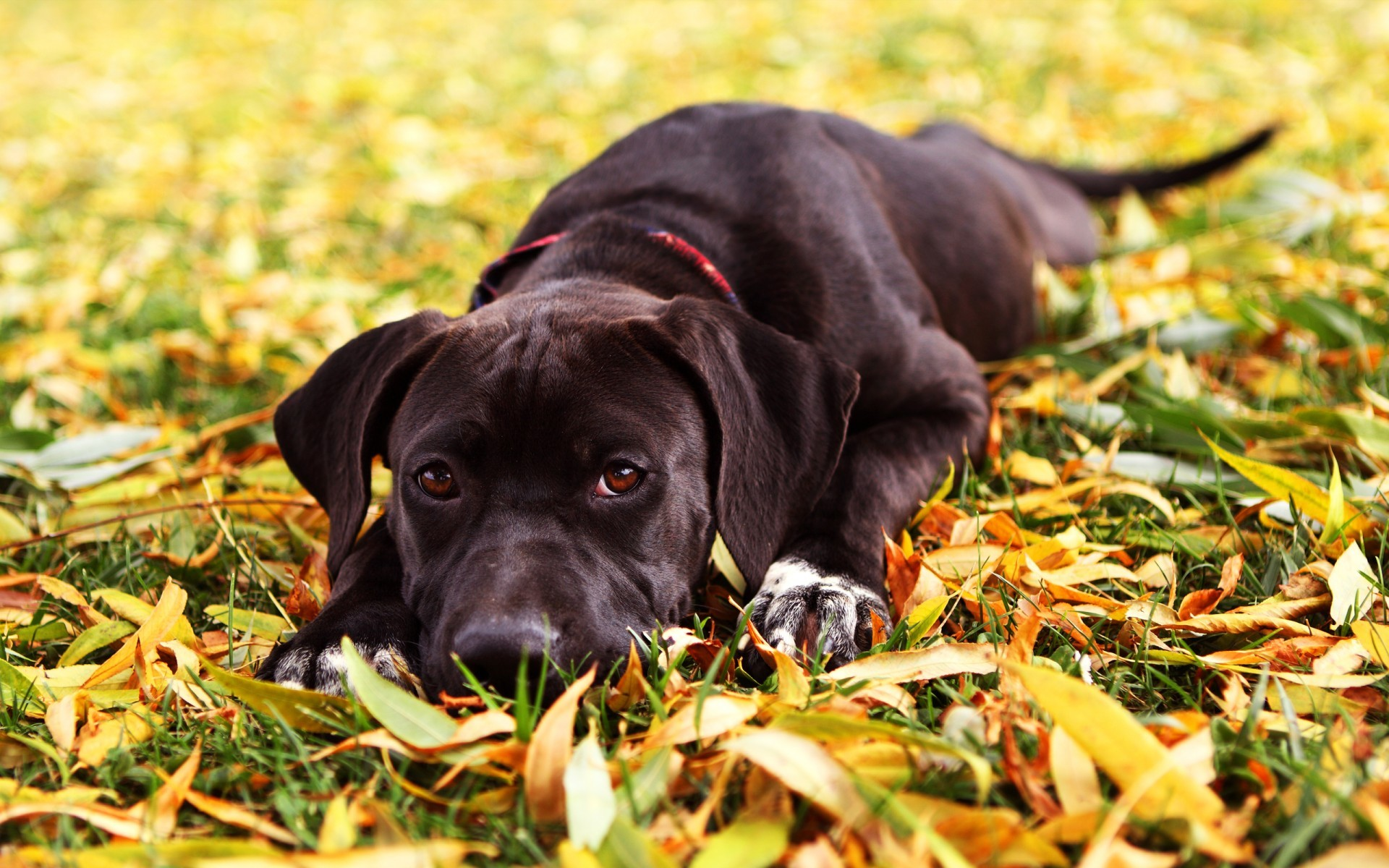 15474 download wallpaper Animals, Dogs, Autumn screensavers and pictures for free