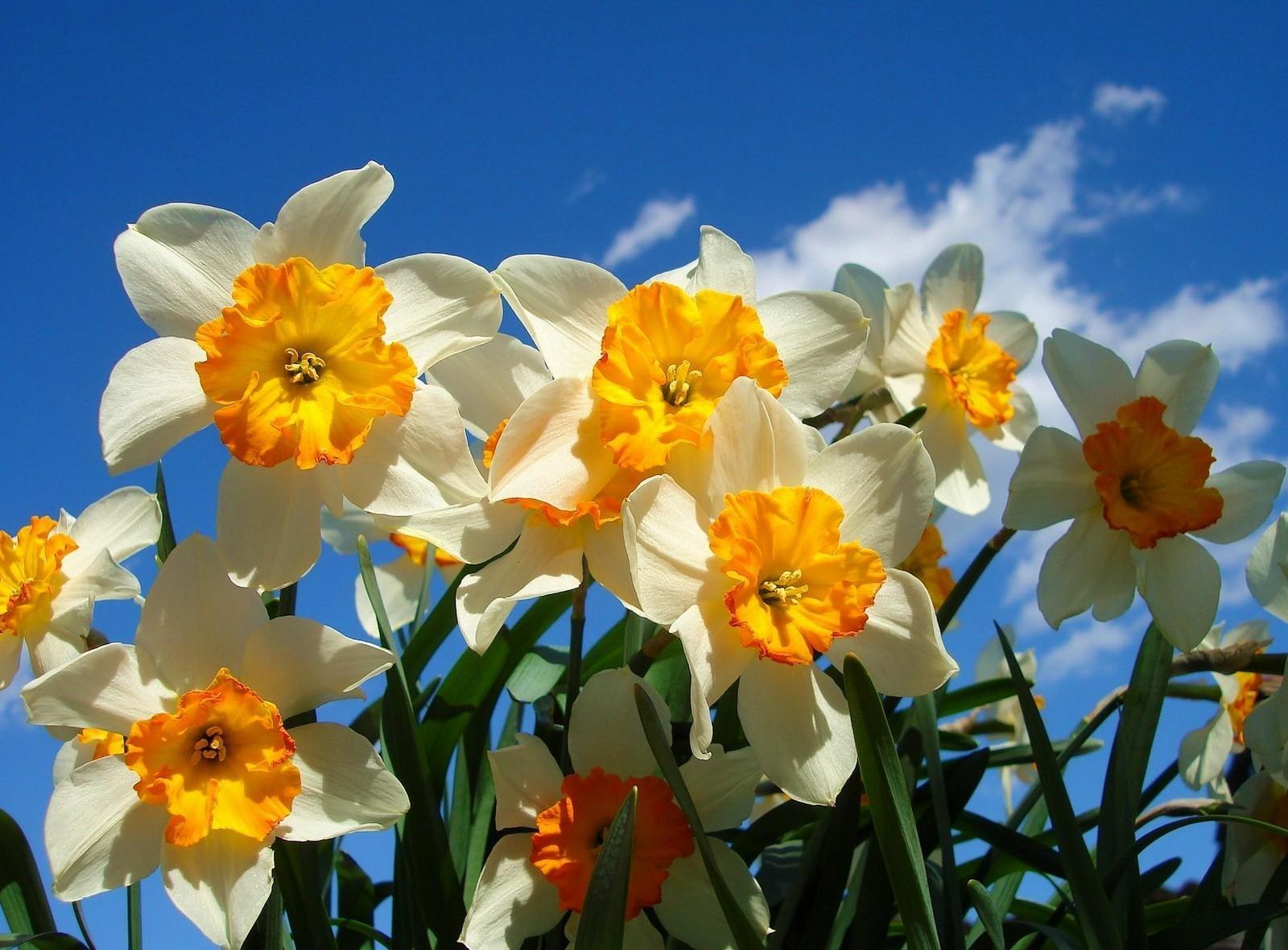 57566 Заставки и Обои Нарциссы на телефон. Скачать Цветы, Небо, Нарциссы, Клумба, Весна, Солнечно картинки бесплатно