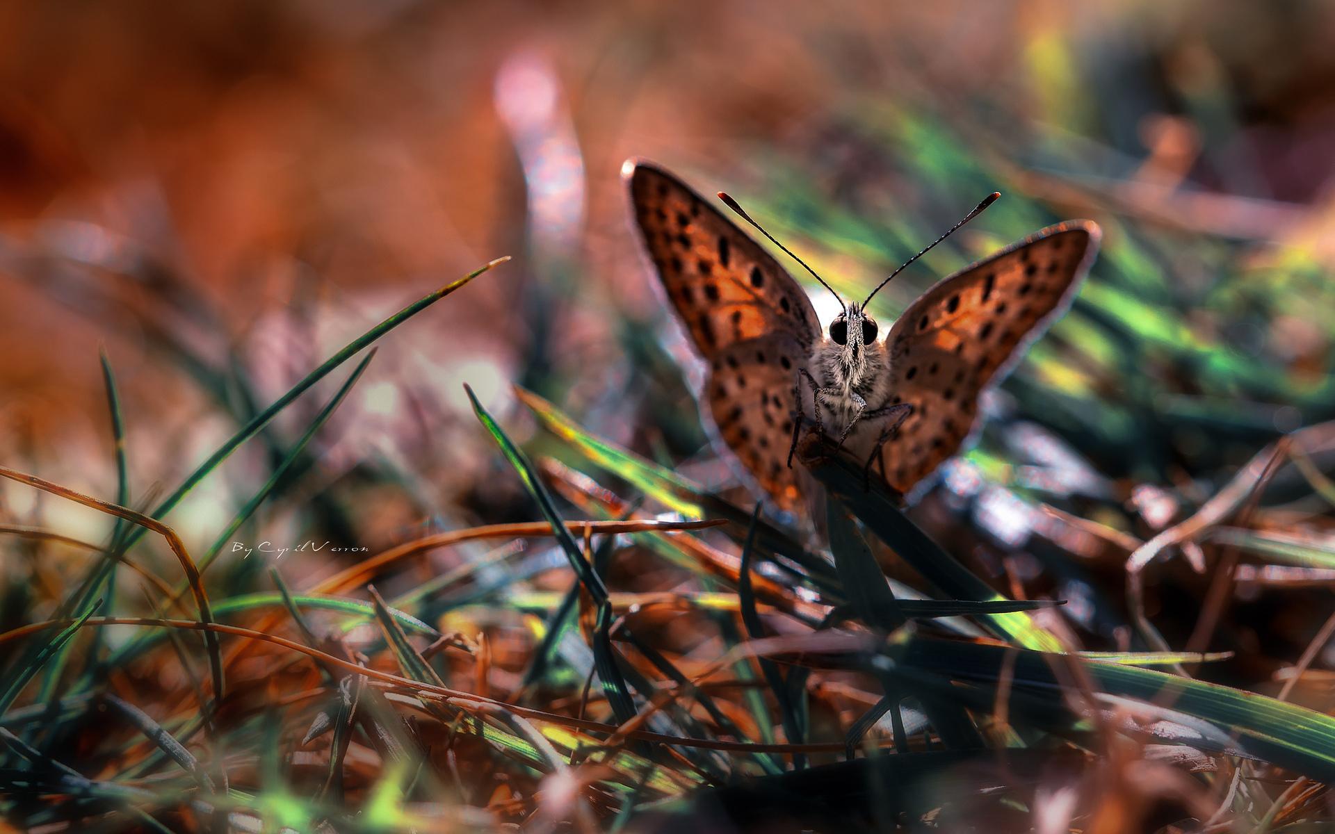 41092 скачать обои Бабочки, Насекомые - заставки и картинки бесплатно