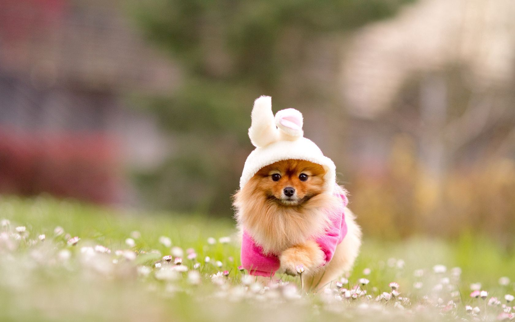 114779 download wallpaper Animals, Spitz, Grass, Costume, Flowers screensavers and pictures for free