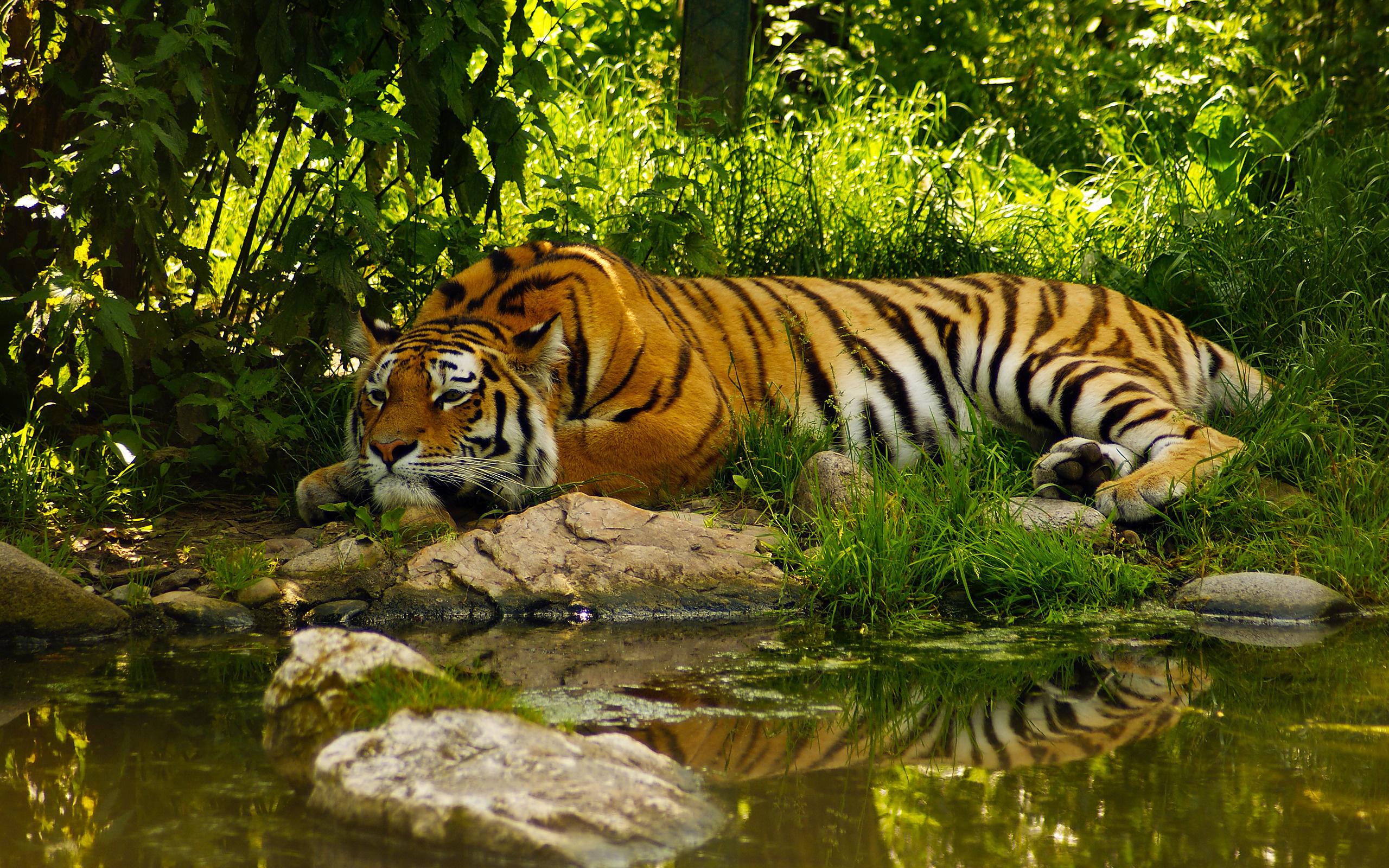 39218 descargar fondo de pantalla Animales, Tigres: protectores de pantalla e imágenes gratis