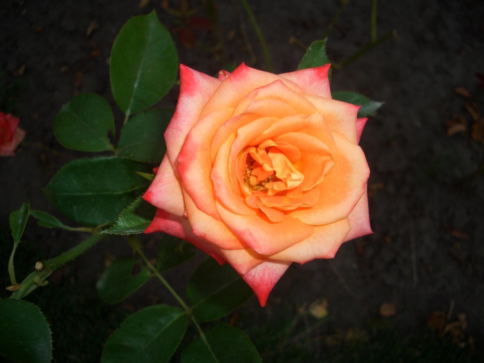 4461 скачать обои Растения, Цветы, Розы - заставки и картинки бесплатно