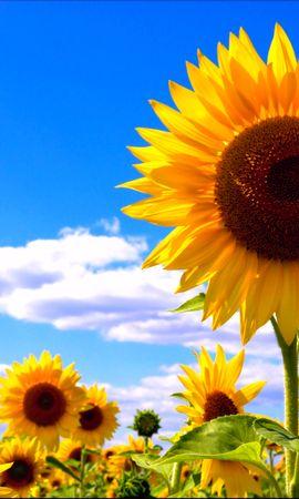 21849 скачать обои Растения, Цветы, Подсолнухи - заставки и картинки бесплатно