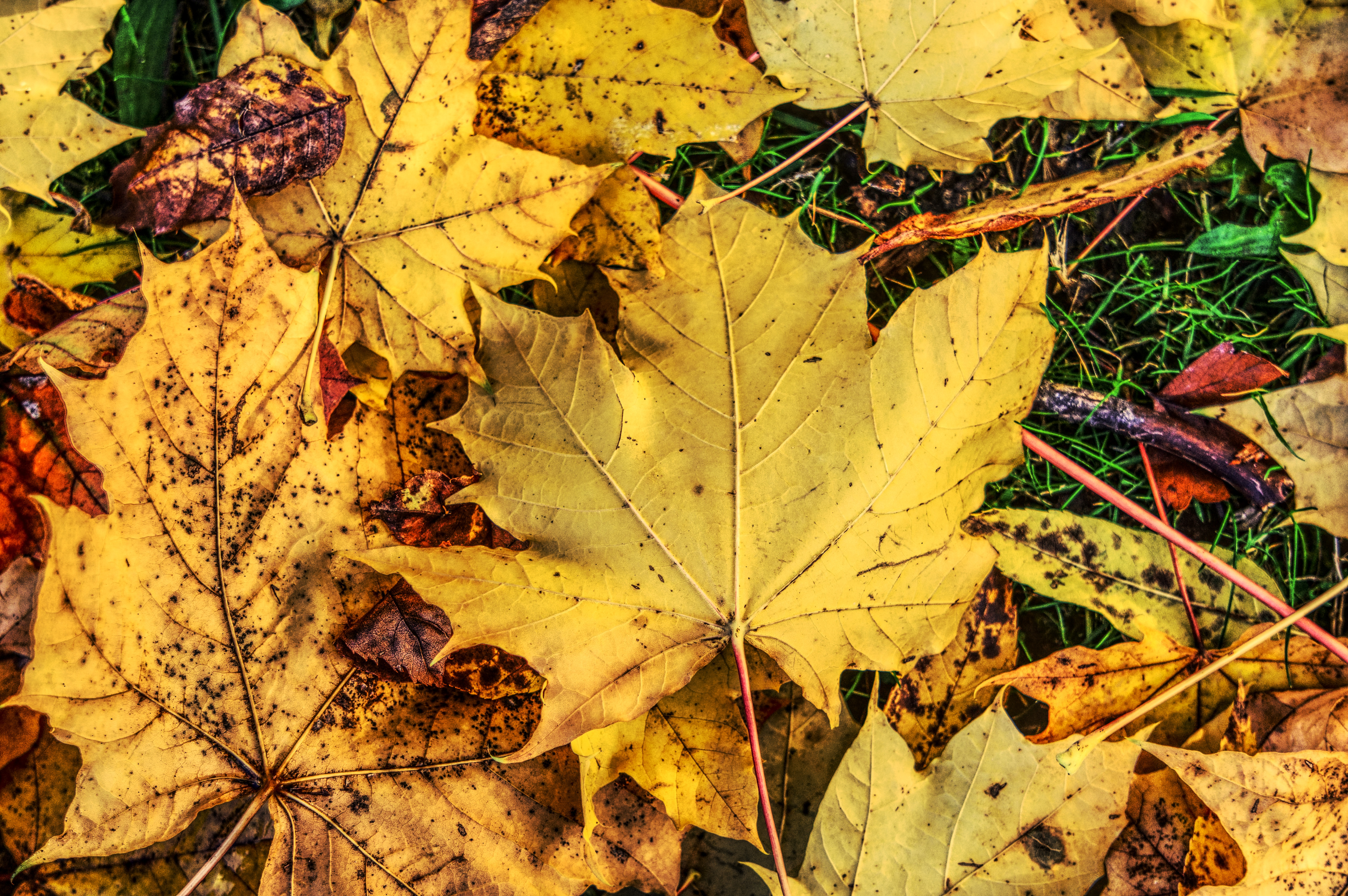 117177 download wallpaper Nature, Foliage, Maple, Autumn, Fallen screensavers and pictures for free