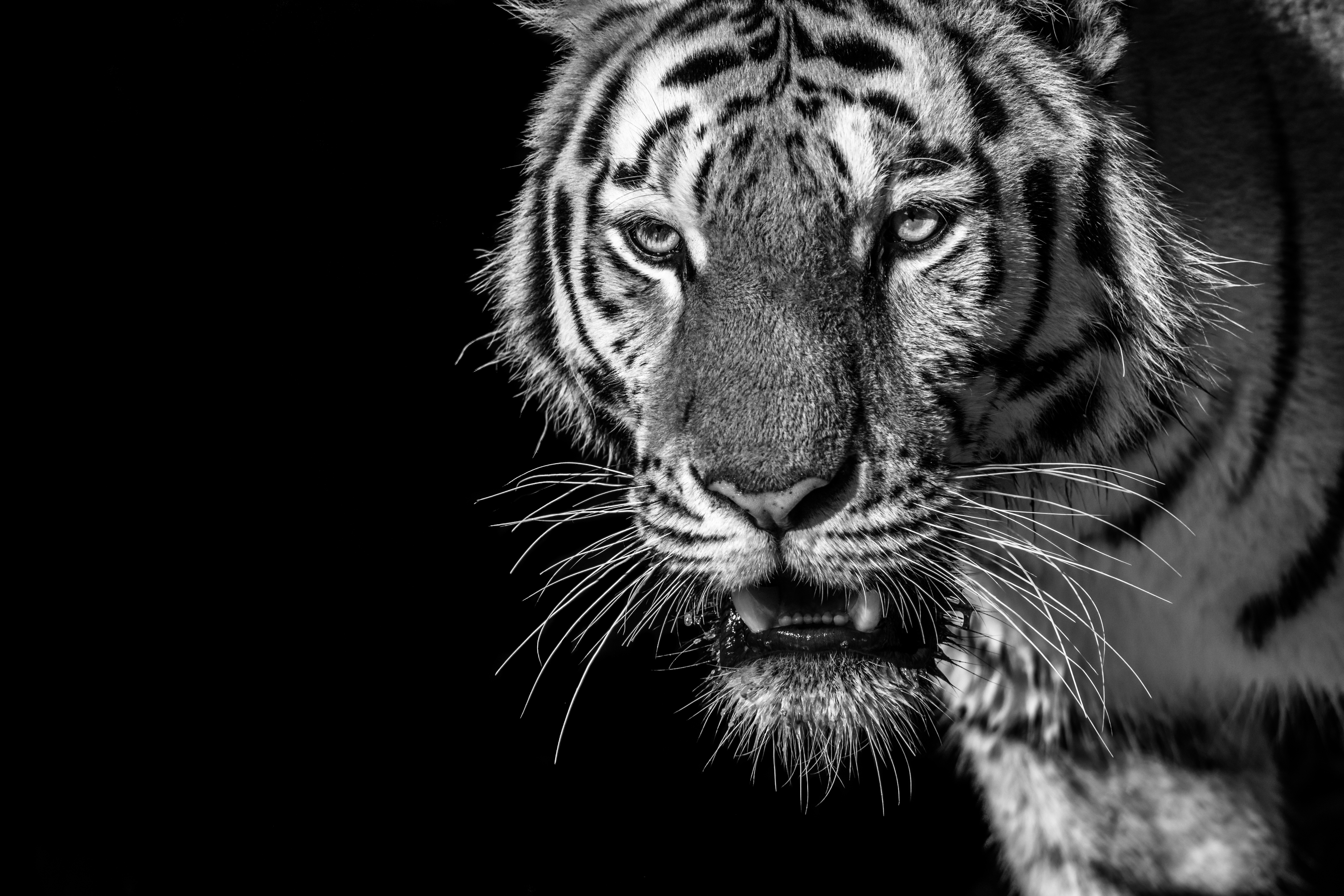 122477 Screensavers and Wallpapers Striped for phone. Download Animals, Striped, Predator, Bw, Chb, Tiger, Wild, Looks pictures for free