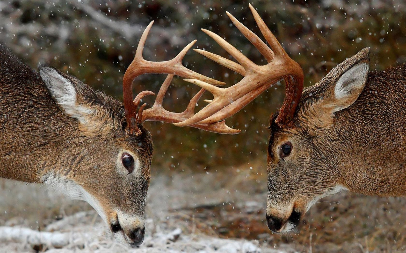73504 download wallpaper Animals, Horns, Forest, Winter, Deers screensavers and pictures for free