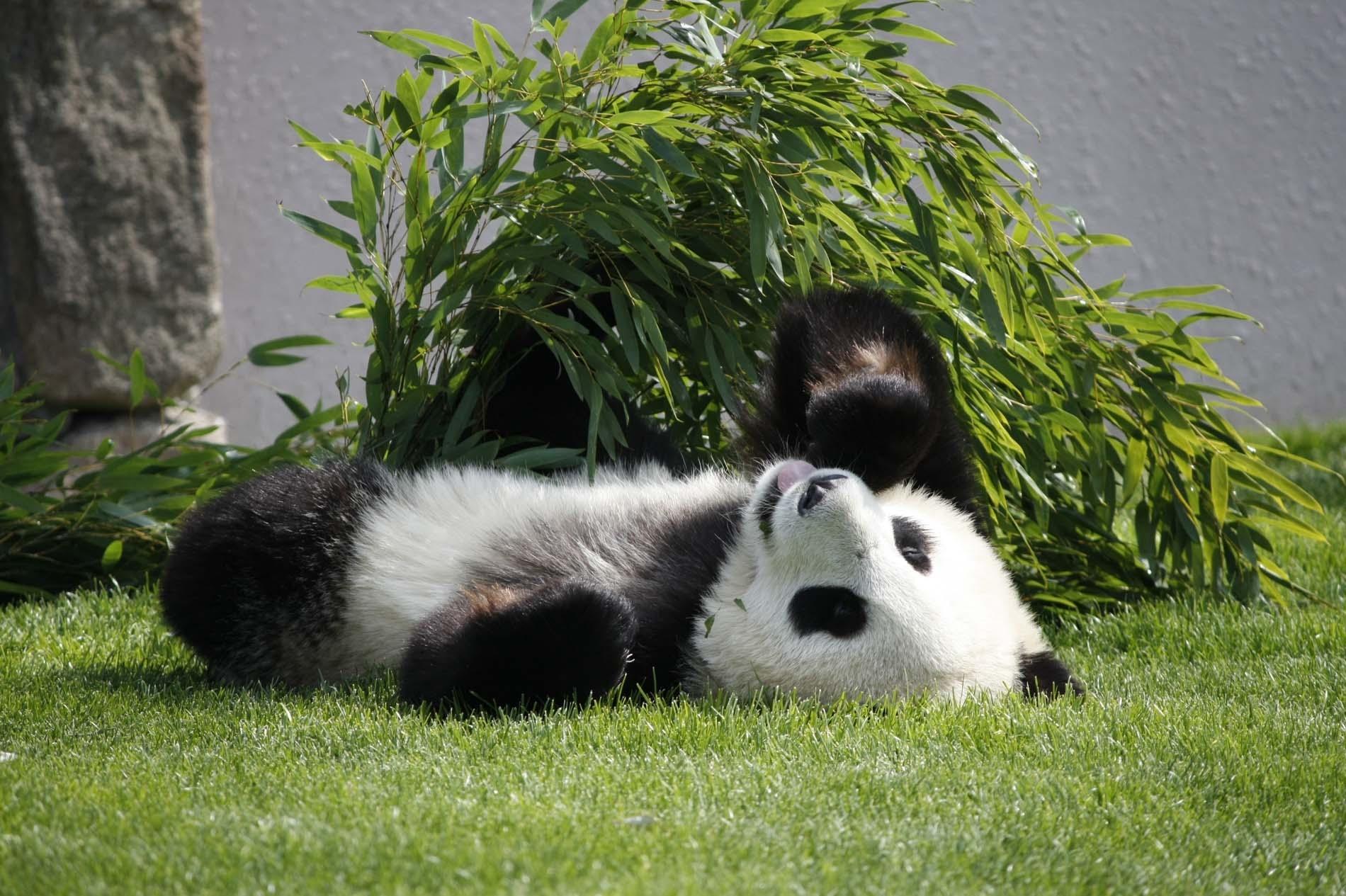 133287 Hintergrundbild 128x160 kostenlos auf deinem Handy, lade Bilder Tiere, Grass, Sich Hinlegen, Liegen, Panda 128x160 auf dein Handy herunter