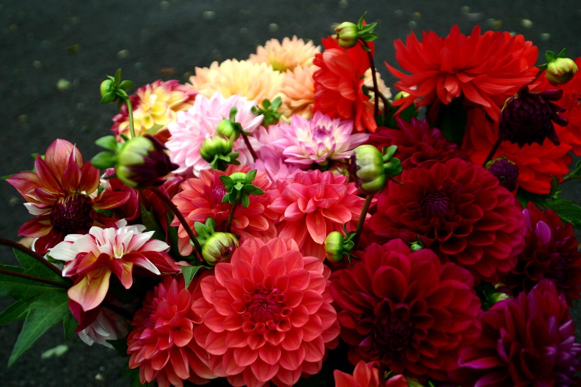 109307 免費下載壁紙 花卉, 大丽花, 圣乔治, 明亮的, 明亮, 不同的, 不同, 花束 屏保和圖片