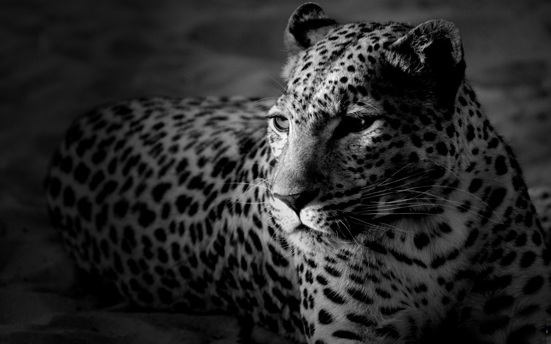 148742 download wallpaper Animals, Leopard, Color, Spotted, Spotty, Bw, Chb screensavers and pictures for free