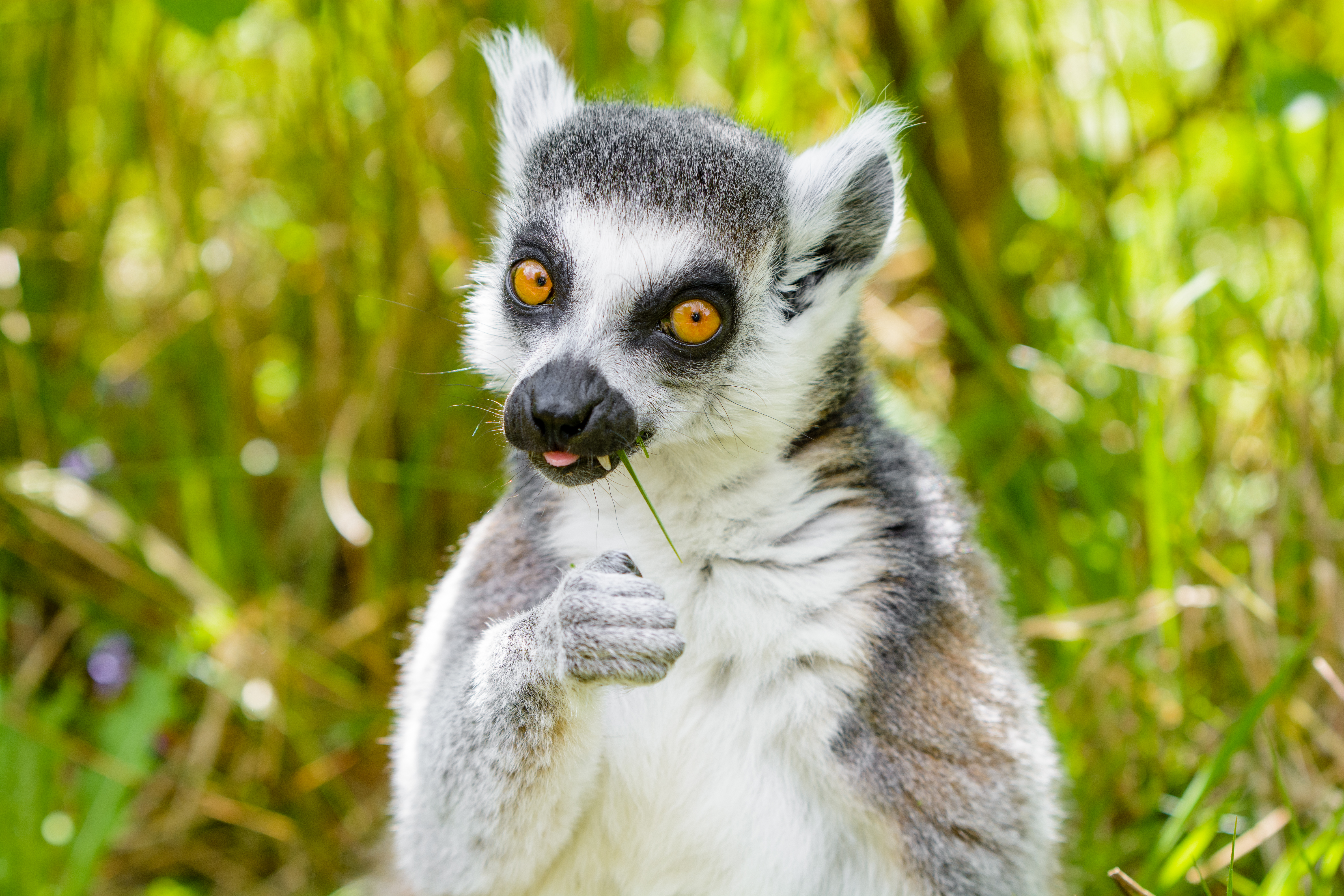 93326 download wallpaper Animals, Lemur, Cool, Funny, Grass, There Is, Eat, Animal screensavers and pictures for free