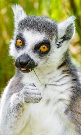 93326 Screensavers and Wallpapers Funny for phone. Download Animals, Lemur, Cool, Funny, Grass, There Is, Eat, Animal pictures for free